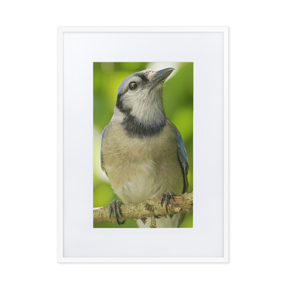 Calling All Bird-Lovers - Blue-jay waiting for your home