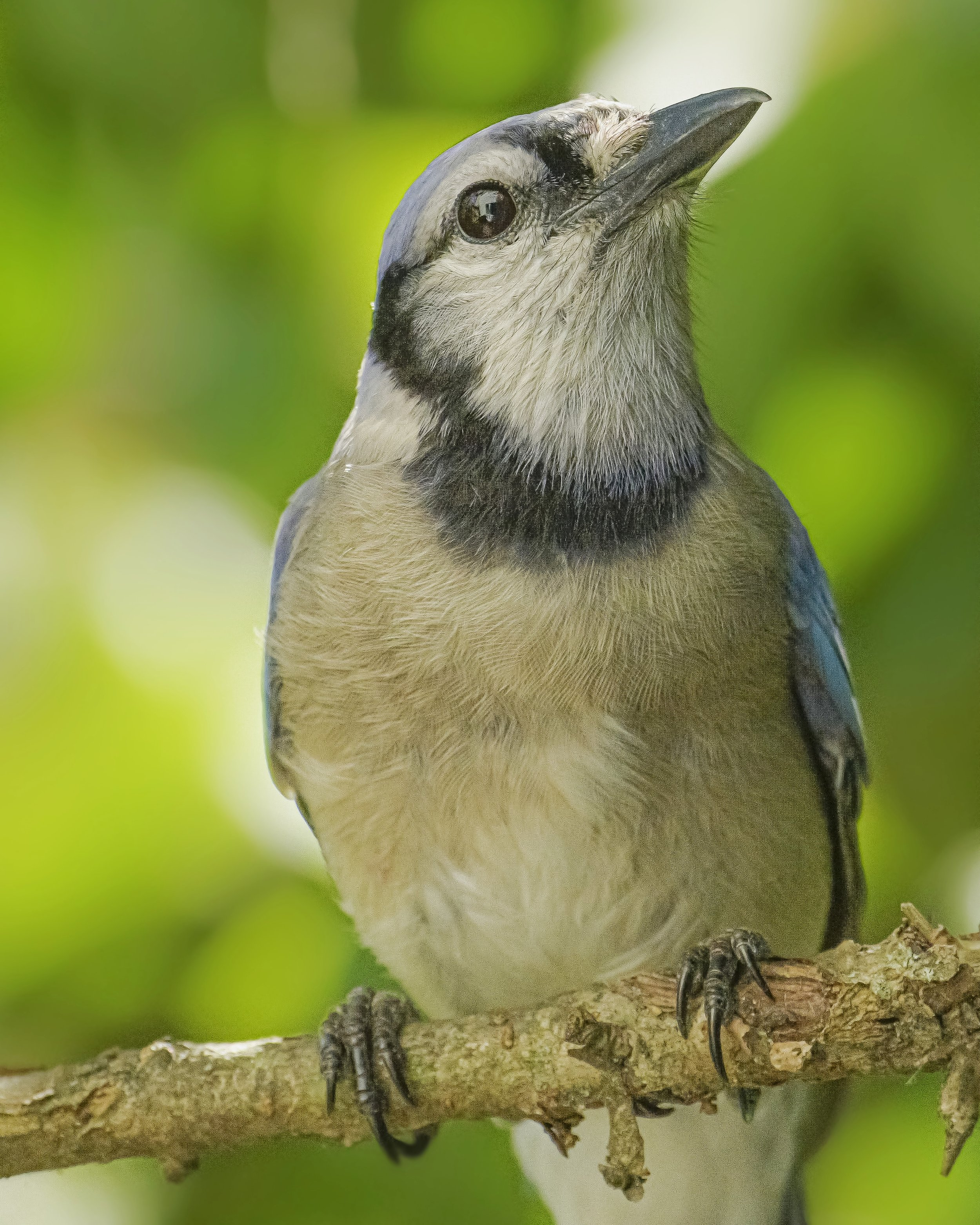 Male Blue Jay