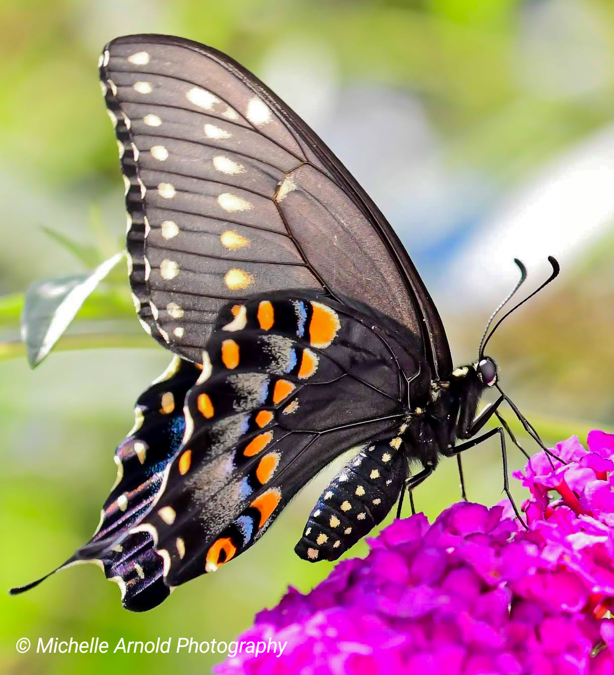 Female Eastern Black Swallowtail