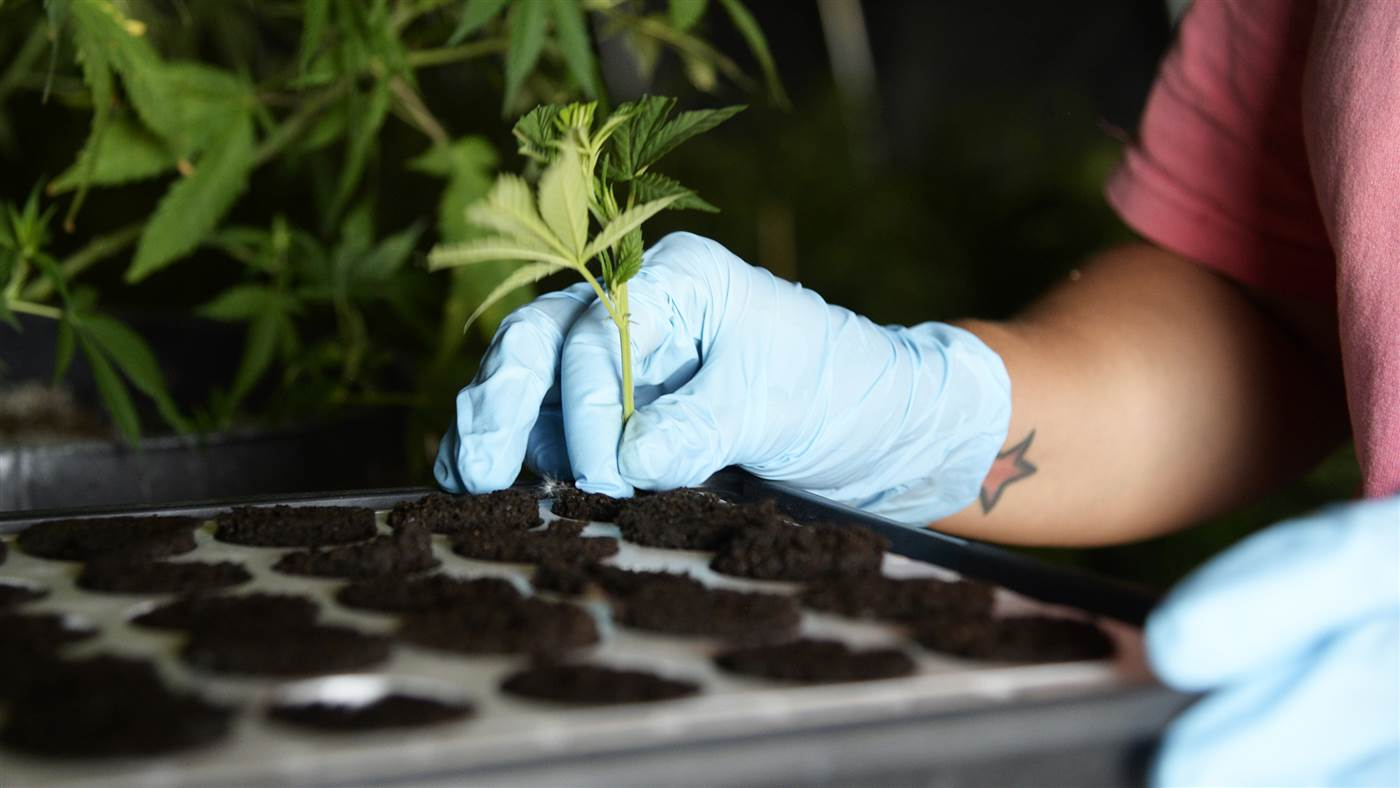 A marijuana seedling is added to a hydroponic chamber.