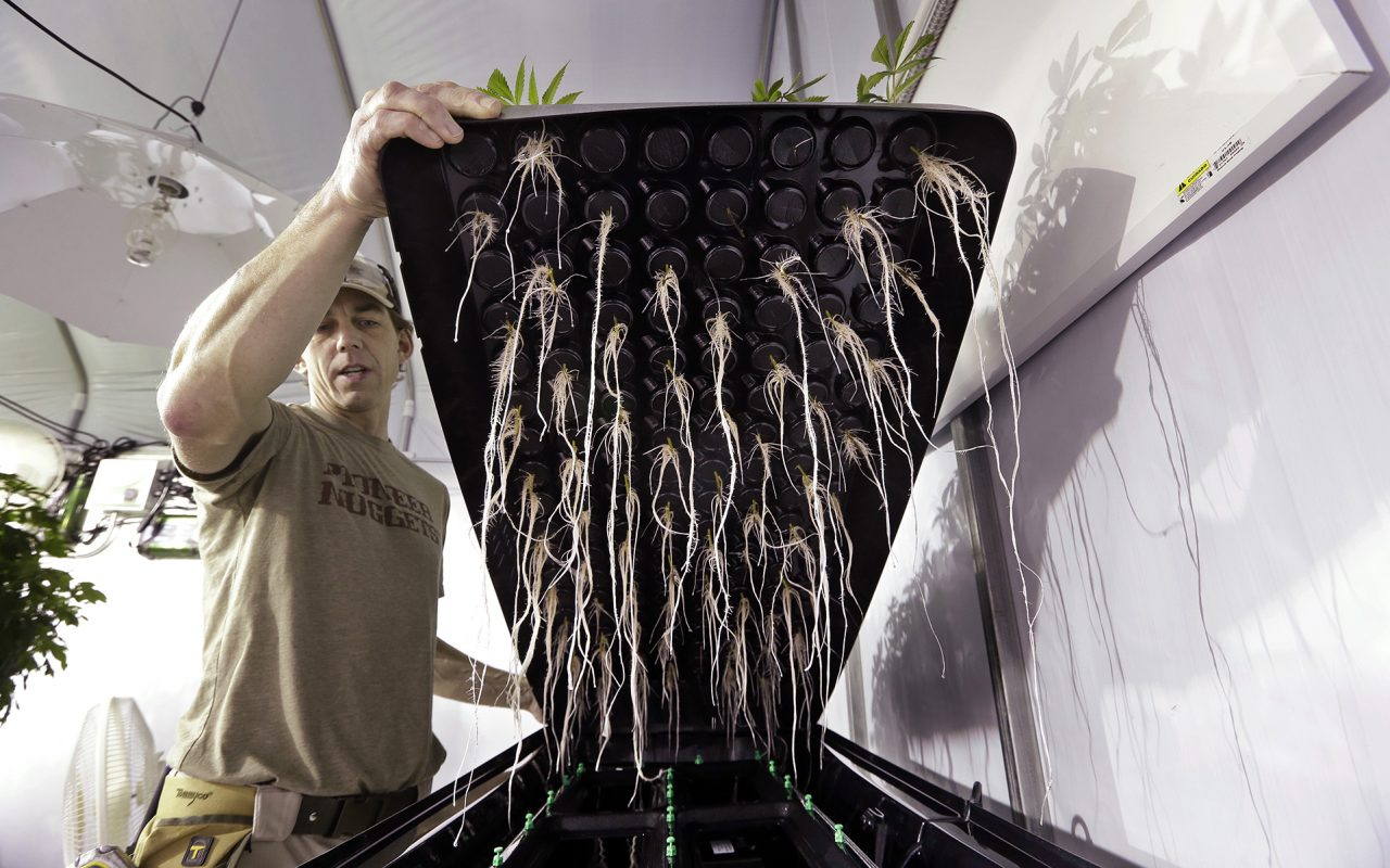 An employee lifts up an aeroponics tray to show the roots