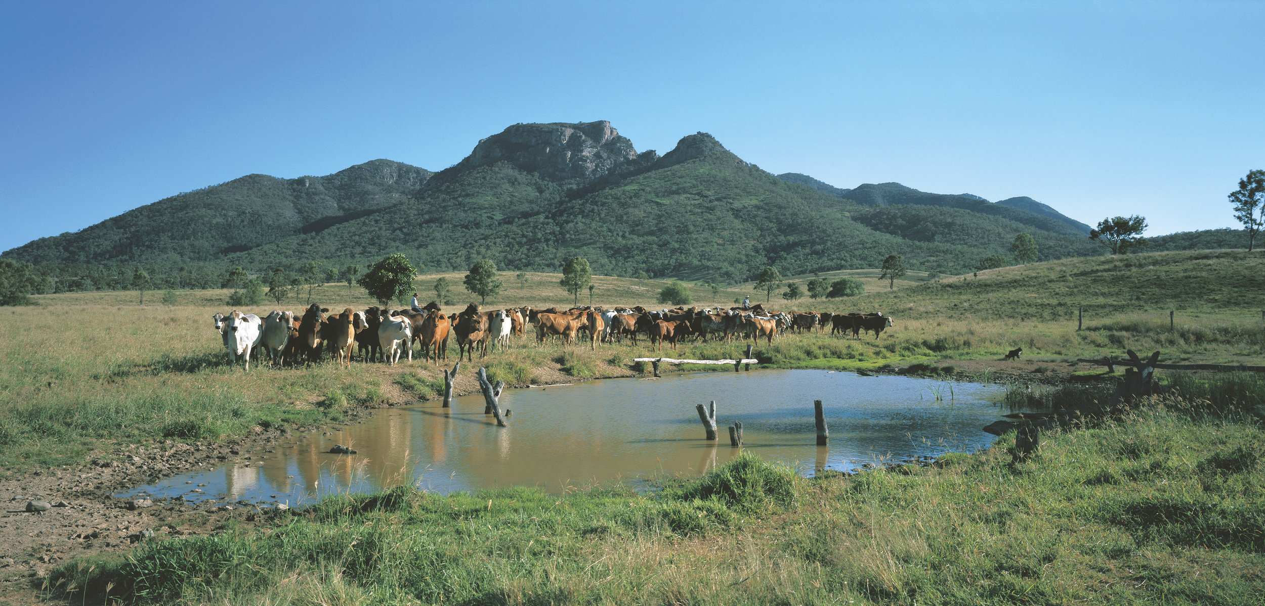 cattle mustered at water hole with Queensland mountain in the background
