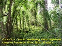 cats claw creeper proserpine river