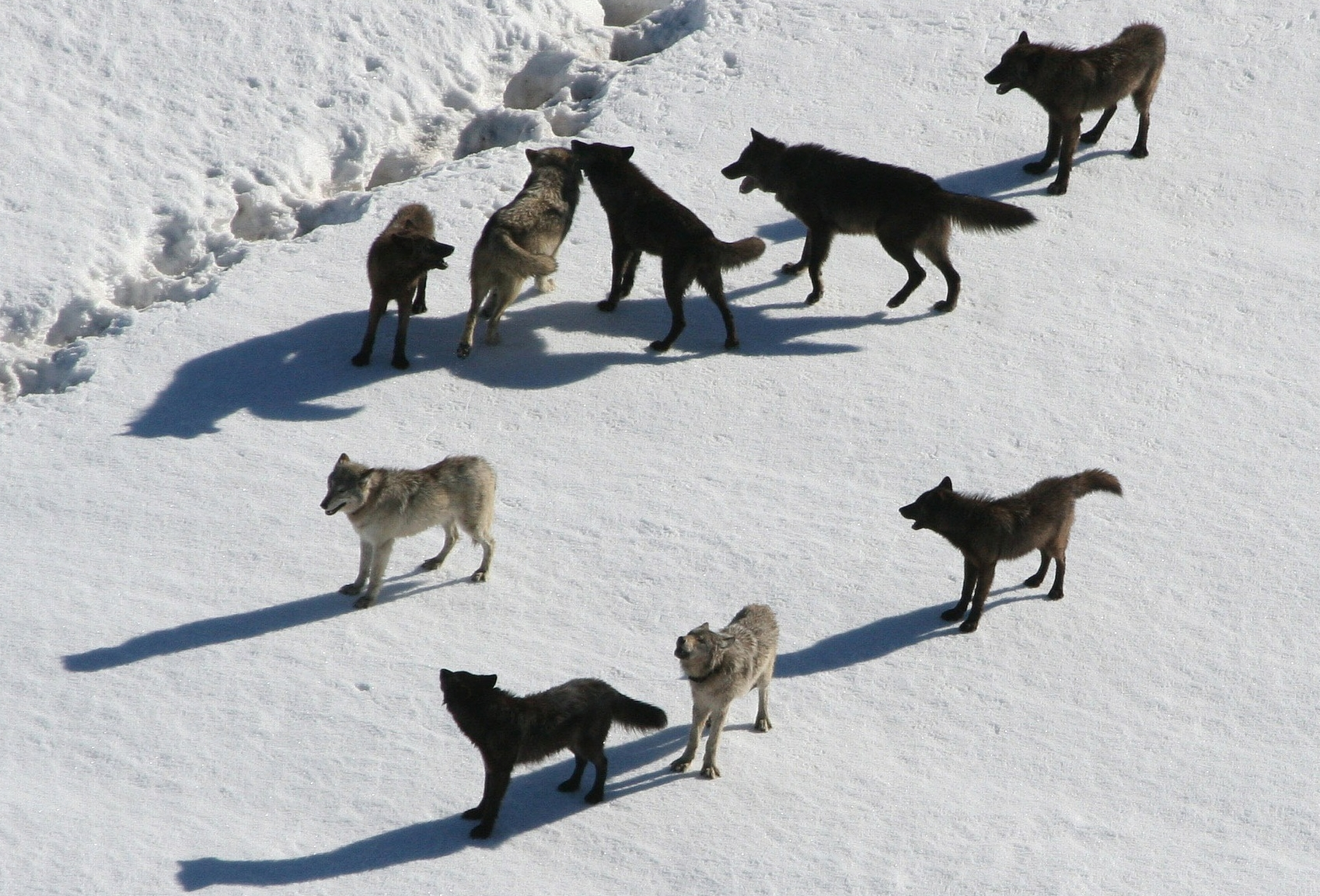 American Wolf Foundation.Wolves in Snow.Wolf Pack.jpg