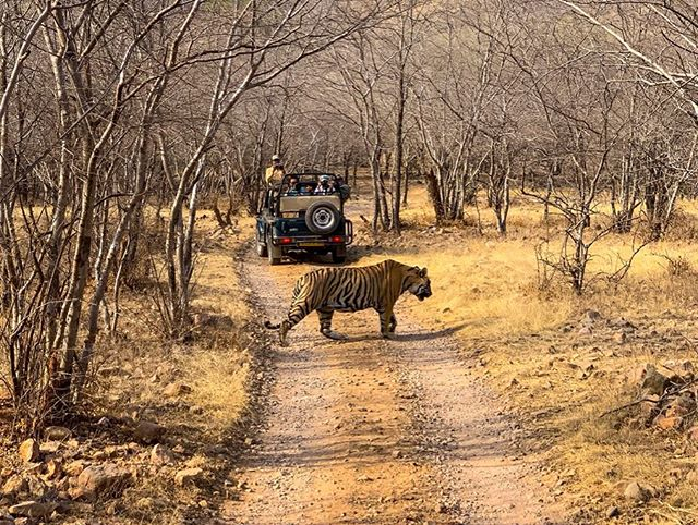 🐅 He Is Worth More Alive. . Best day ever. 😭 . . . . #worthmorealive #cats #bigcats #cubs #tiger #tigers #tigress #tigersofranthambore #savethetiger #savethetigers #savethetigerindia #nature #naturephoto #allnatureshots  #wildlife #wildlifephotography #wildwatch #wildlifeofindia #veganswhotravel #rajasthan #ranthambore #ranthamborenarionalpark #india #indiantiger #indiagram #indialove #indiawildlife #conservationist #protectourplanet
