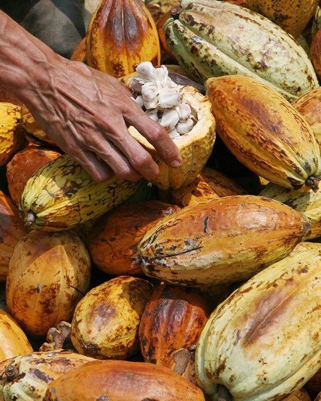 #SabíasQue... Venezuela fue el primer productor mundial de cacao hasta finales del siglo XVIII y lo comerciaba bajo el dominio de la colonia española. Pero desde hace décadas exporta entre 8.000 y 10.000 toneladas por año, apenas una fracción de lo que transan grandes productores de cacao como Costa de Marfil o Ghana.⠀⠀⠀⠀⠀⠀⠀⠀⠀ ⠀⠀⠀⠀⠀⠀⠀⠀⠀ Aún así, nuestro cacao sigue siendo apreciado por los fabricantes de chocolates de Japón o Suiza, que celebran su intenso sabor y aroma desde tiempos de la colonia.⠀⠀⠀⠀⠀⠀⠀⠀⠀ ⠀⠀⠀⠀⠀⠀⠀⠀⠀ Gracias a esa fama, artesanos del chocolate local optaron por enfrentar la crisis elaborando barras gourmet con 100 por ciento cacao venezolano que llegan a vender por 10 dólares en el extranjero. Pero otros países fabricantes de chocolates han reducido las compras del grano venezolano en los últimos años, según fuentes del sector consultadas.⠀⠀⠀⠀⠀⠀⠀⠀⠀ ⠀⠀⠀⠀⠀⠀⠀⠀⠀ Así que, cuando te encuentres con algo tan glorioso como una barra de chocolate hecha con cacao 100% venezolano en cualquier parte del mundo, asegúrate de apoyarlos prefiriéndolas antes que a cualquier otra. 🇻🇪🍫💕 ⠀⠀⠀⠀⠀⠀⠀⠀⠀ ⠀⠀⠀⠀⠀⠀⠀⠀⠀ ⠀⠀⠀⠀⠀⠀⠀⠀⠀ ⠀⠀⠀⠀⠀⠀⠀⠀⠀ #venezuela #venezuelan #venezuelalibre #VenezuelanFood #venezuelaes #VenezuelaForum #venezuelalucha #Venezuelangirl #venezolanosenelmundo  #venezueladice #VenezuelaLIKERS #VenezuelaTeQuiero #venezuelanpower #venezuelacreativa #venezobadass #llevotuluz #chuao #cacao #venezolana #venezueladesign #venezuelafood #chocolateelrey #venezuelateamo #venezuelandesign #venezuelafotos #cacaovenezolano #venezuelanblogger #elrey #savoy