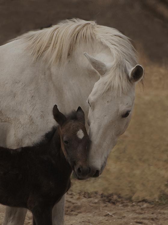 Mare and foal Lipizzan Ghitta-3208_e_sm_hr.jpg