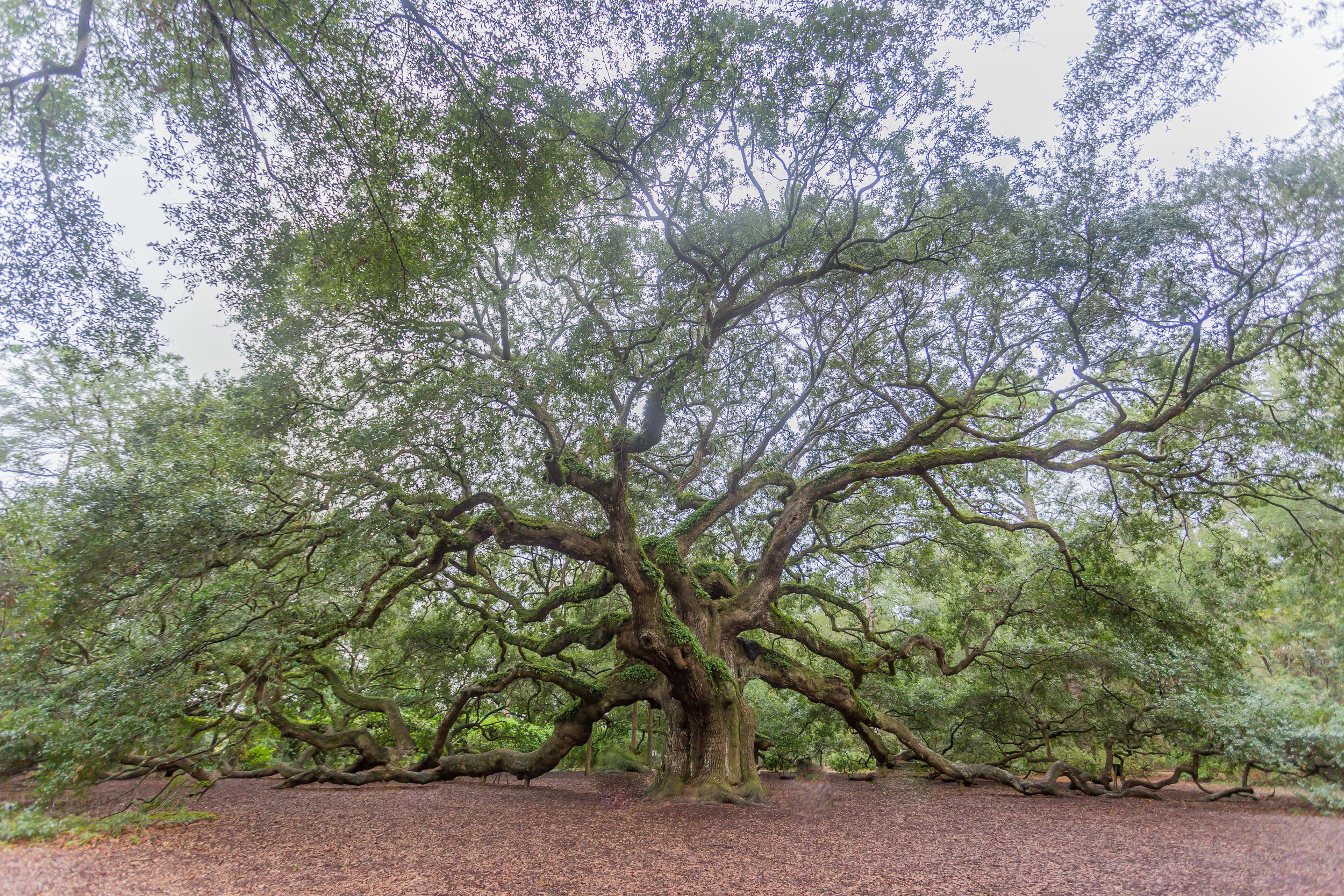Voila! Here's the gorgeous shot Dan snagged. It's a pretty incredible site. It is said that this tree is anywhere between 400-500 years old.