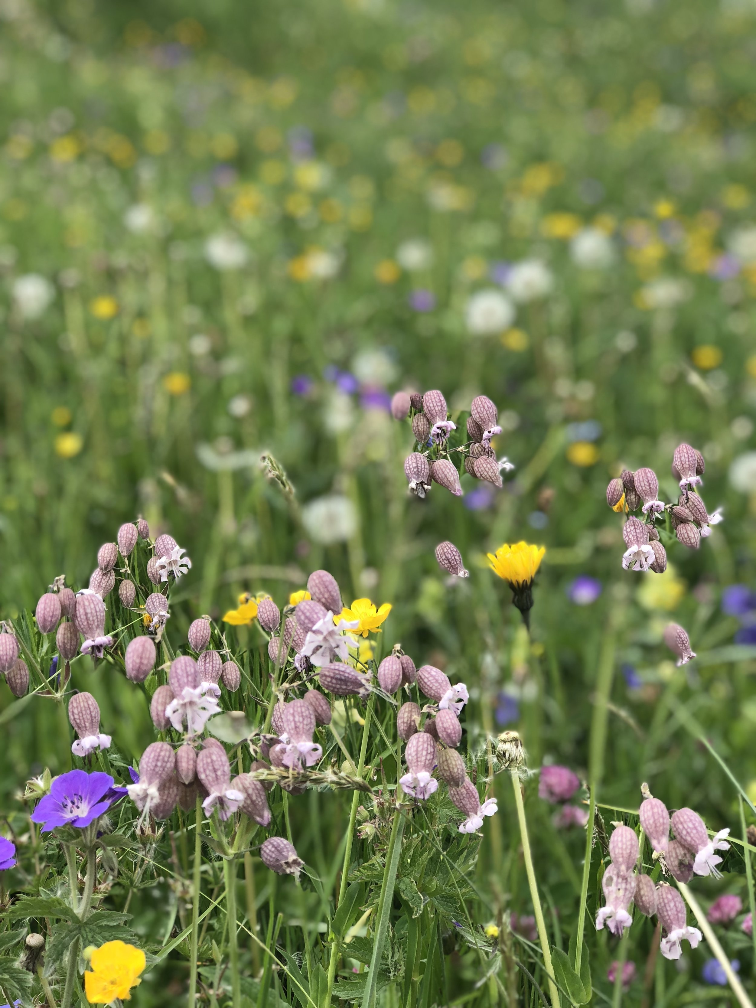 The wildflowers grew as far a the eyes could see! We were also informed that we caught them at a good time because in the following weeks more cows will be brought back into the mountains and they graze on all the wildflowers.