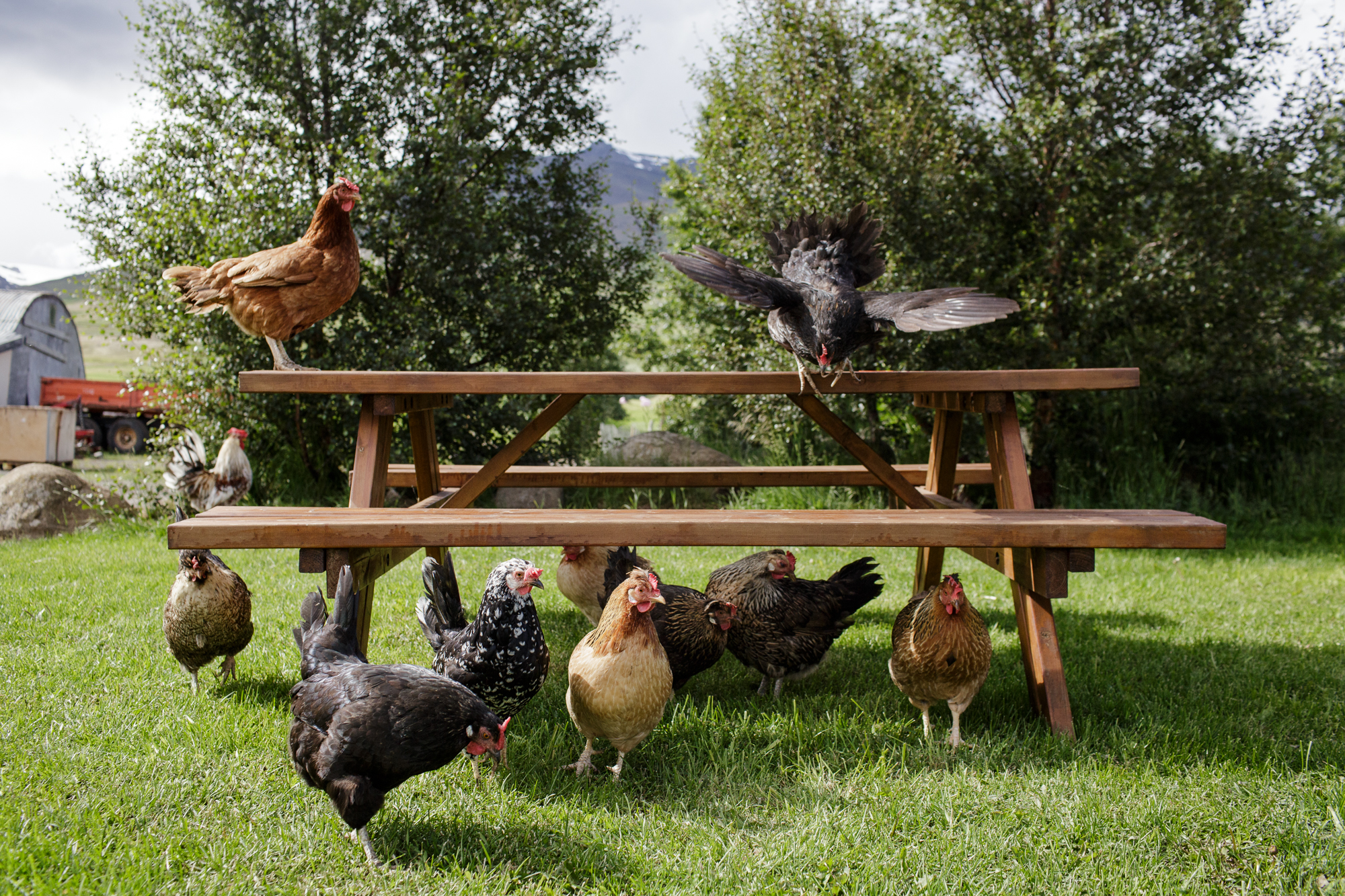 Chickens flock a picnic table outside an ice cream shop in Akureyri.