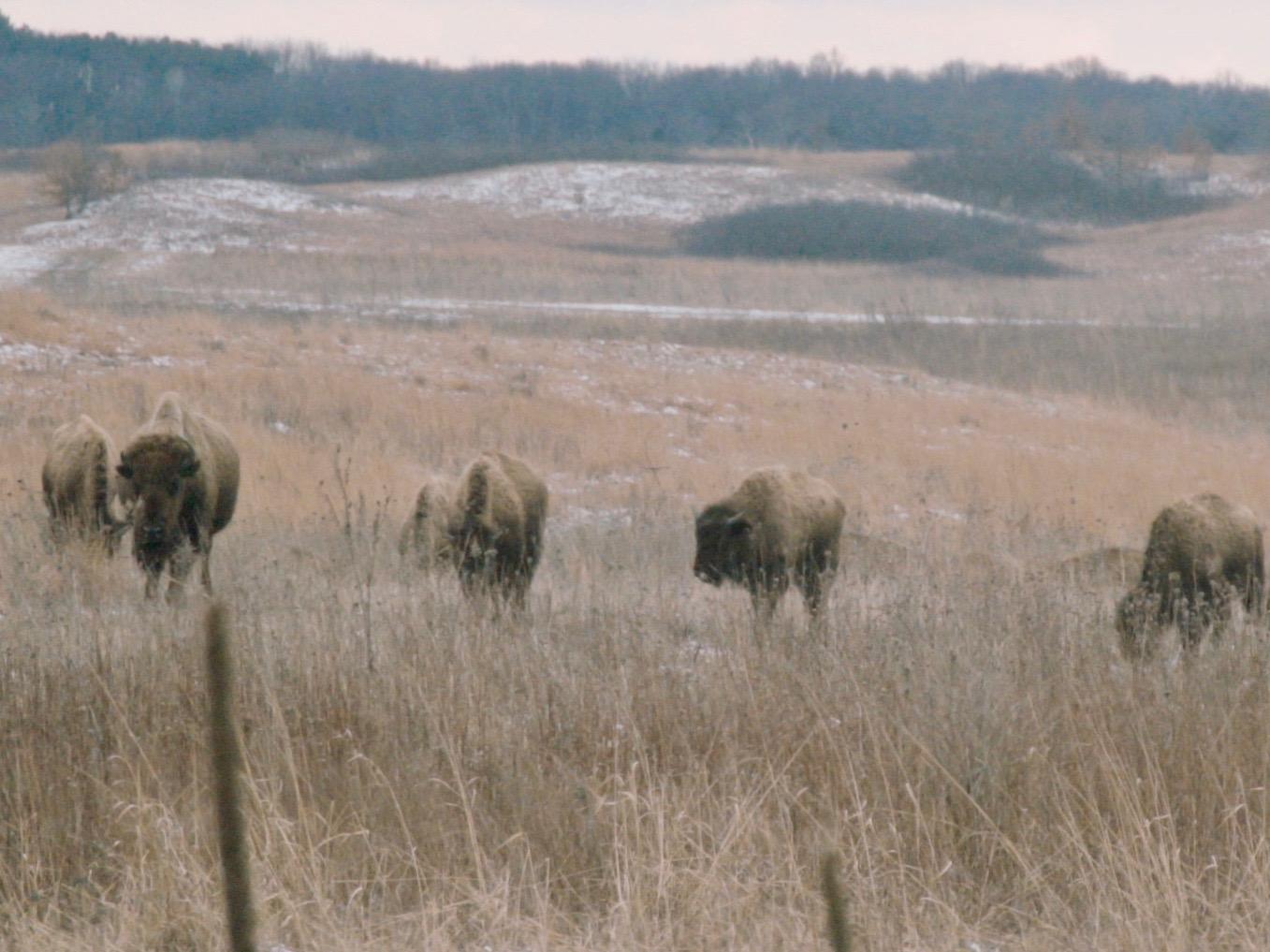 Bison roam the Nachusa Grasslands. (One Illinois/Zach Sigelko)