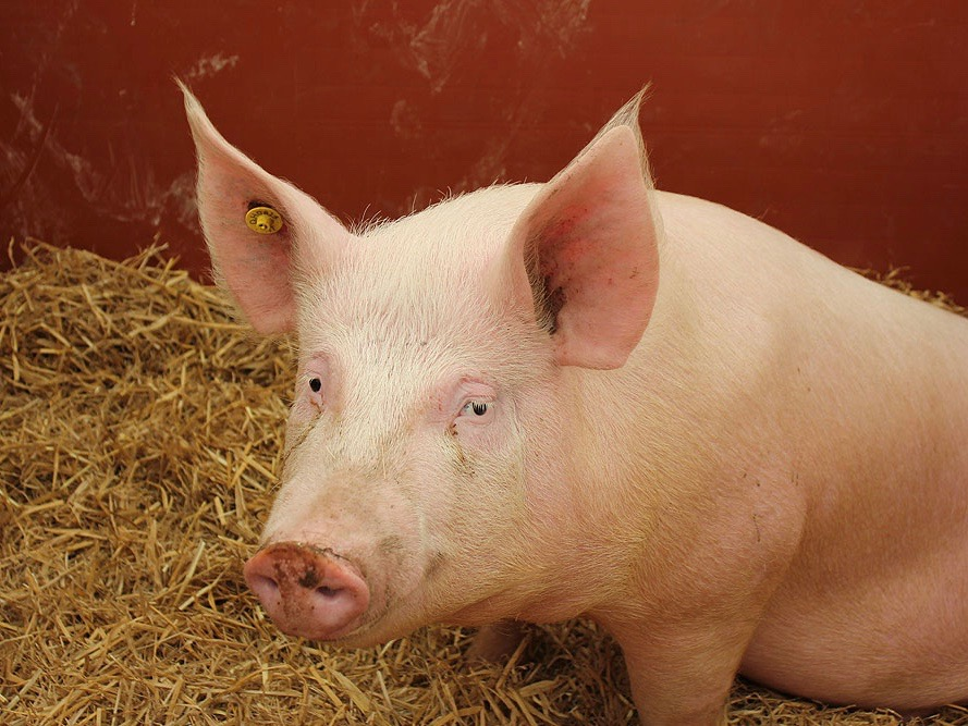 The value of a lean hog has dropped by about a third just this year in President Trump's trade war. (Wikimedia Commons/Rictor Norton & David Allen)