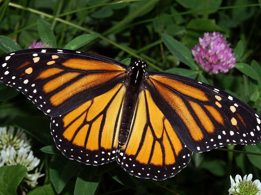 Monarch butterflies need to be sustained along with other essential insect pollinators key to the agriculture industry. (Wikimedia Commons/Kenneth Dwain Harrelson)