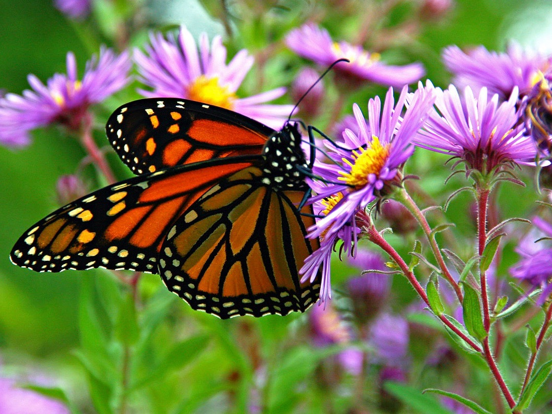 Environmentalists and farmers are sometimes in agreement, sometimes at odds over how best to benefit potentially endangered species like the monarch butterfly. (Wikimedia Commons/Liz West)