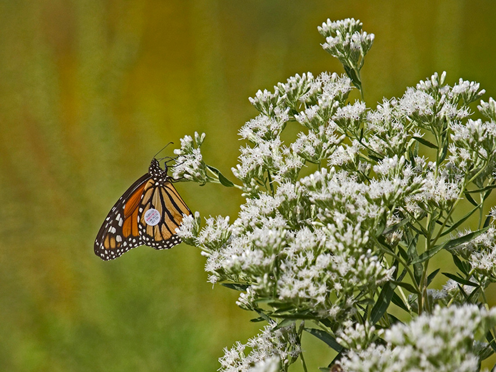 A tagged monarch butterfly in Illinois. (U.S. Fish and Wildlife Service)