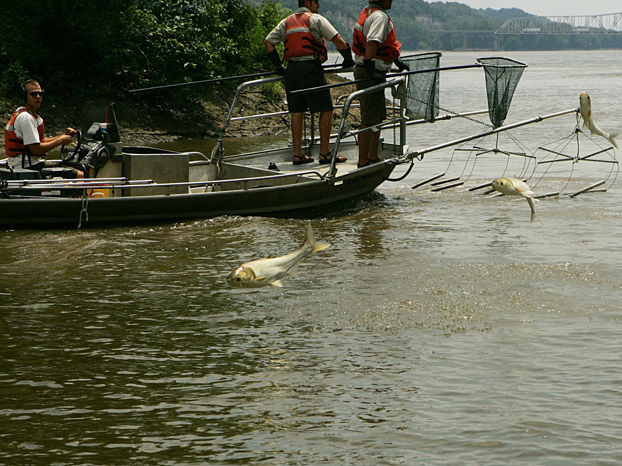 Silver carp leap to elude capture by researchers. (U.S. Fish and Wildlife Service)
