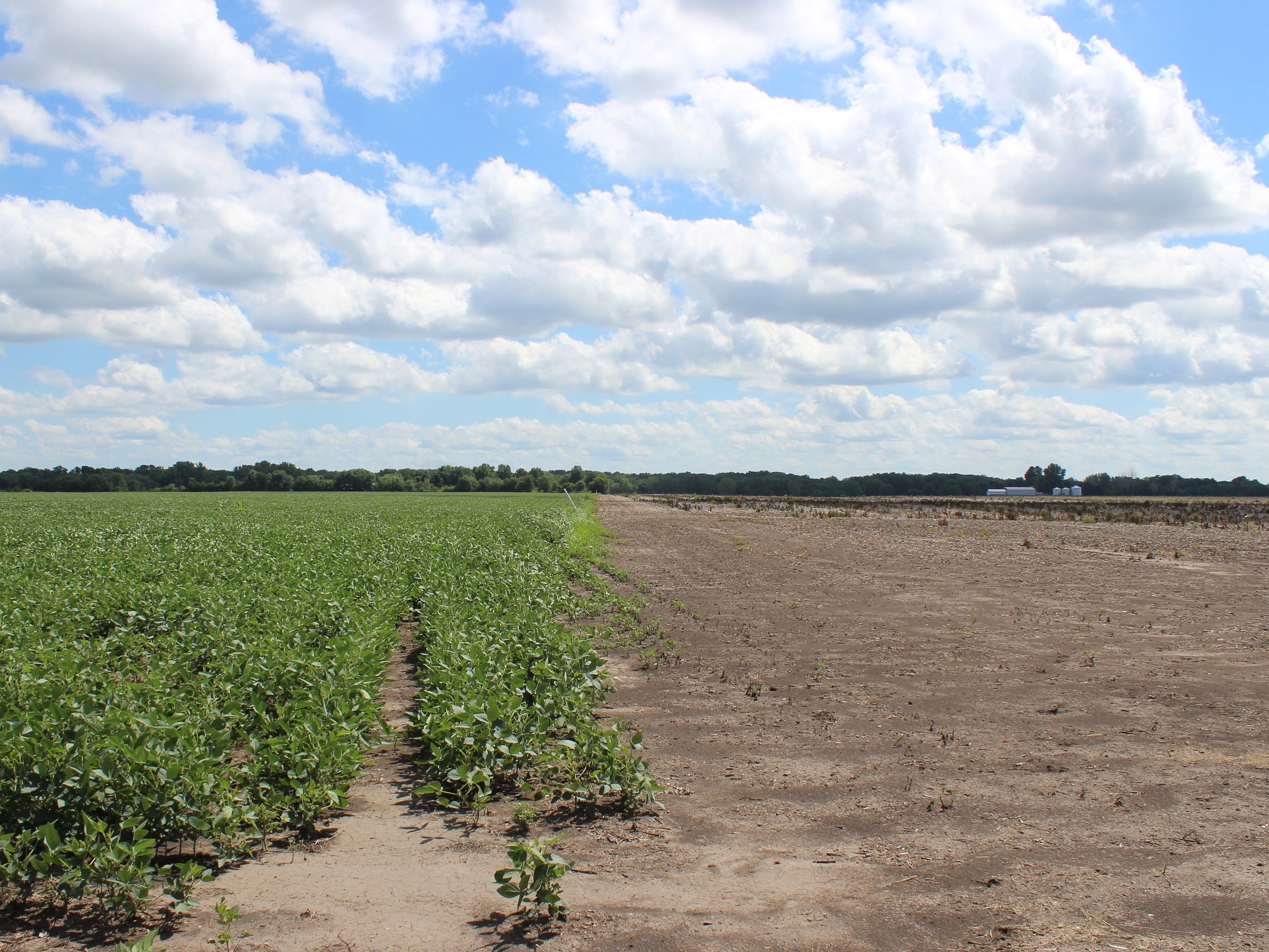 Soybeans grow next to a barren field in central Illinois. (One Illinois/Ted Cox)