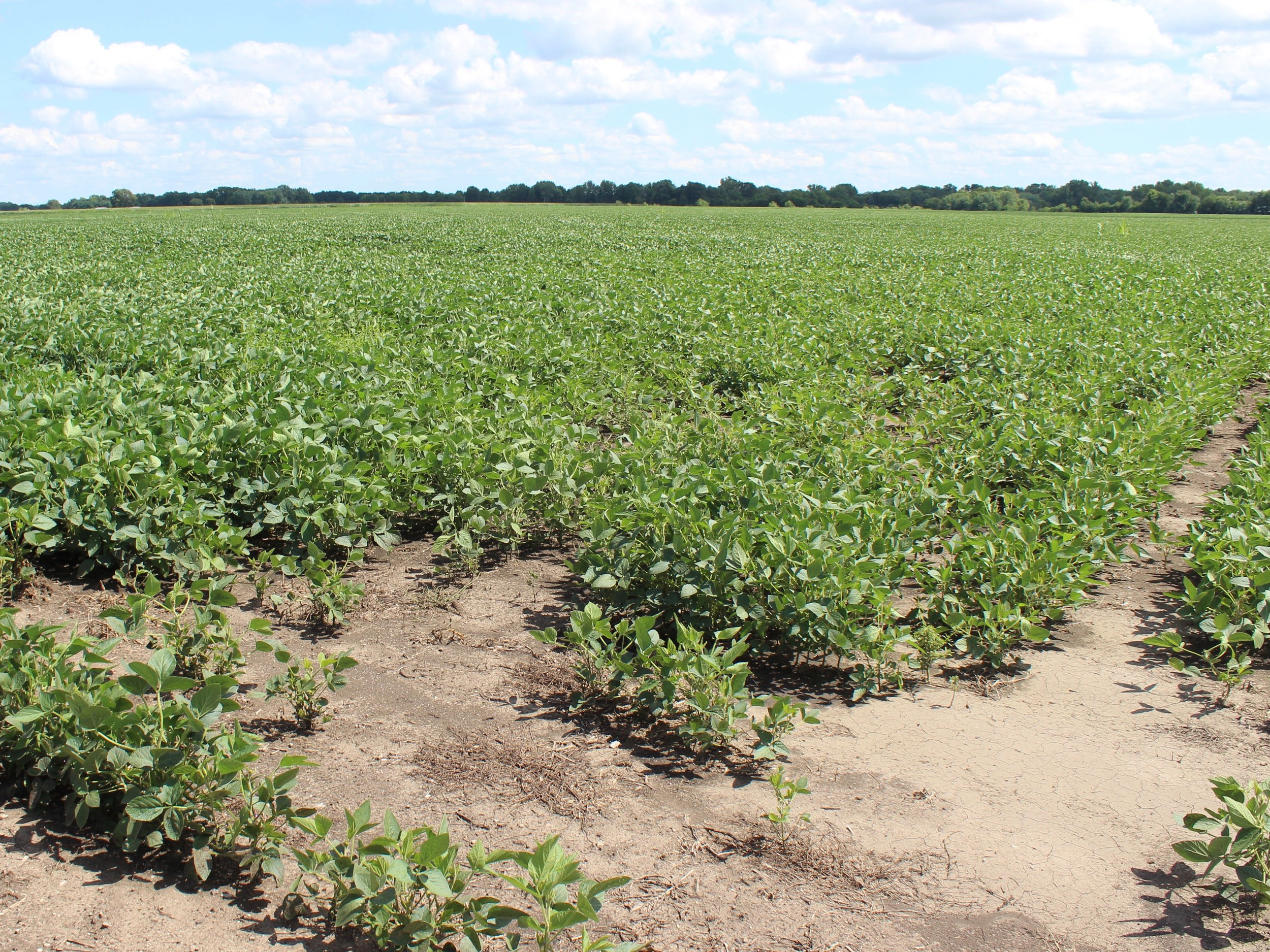 A patchy soybean field in central Illinois: even when harvested, where will they go if not China? (One Illinois/Ted Cox)