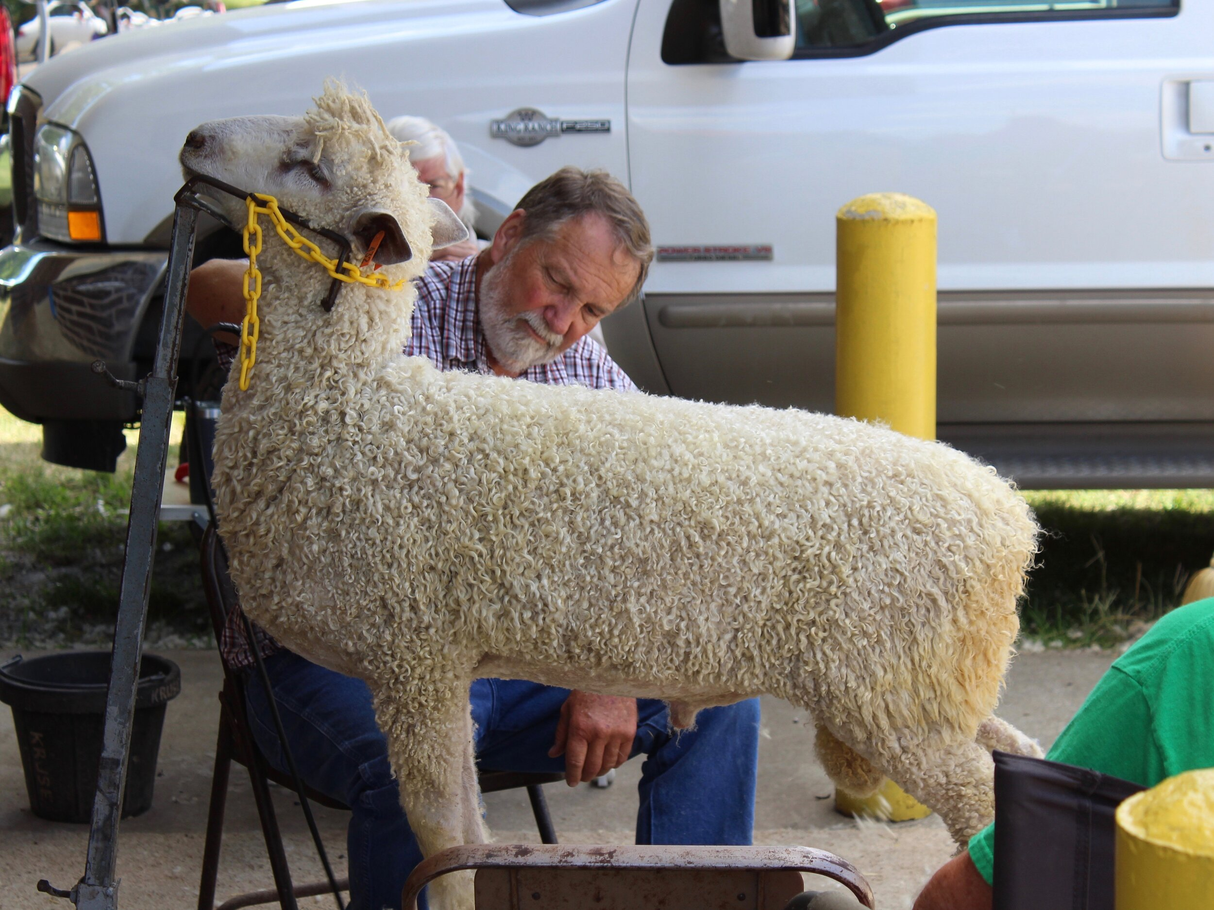 A sheep gets shorn at the State Fair this summer, which set a record for revenue. (One Illinois/Ted Cox)