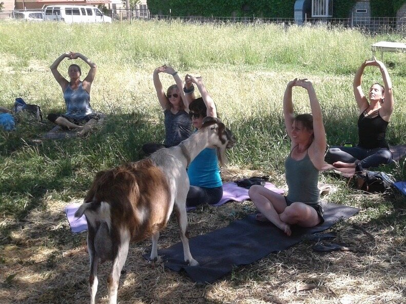 A class of goat yoga takes place at GlennArt Farm on Chicago's West Side. (GlennArt Farm)