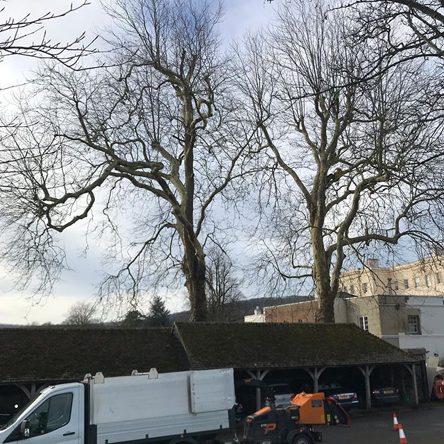 These two large mature London Planes were last pruned 7 years ago, so it was time for them to be done again! It took 2 days, 2 climbers, 3 groundsman, there were 3 separate drop zones,  and they were over garages and a house! Great work from all the team 👍 #oldfieldtreeservices #arborist #treesurgeon #treesurgery #londonplane #Platnusxhispanica #repollard #