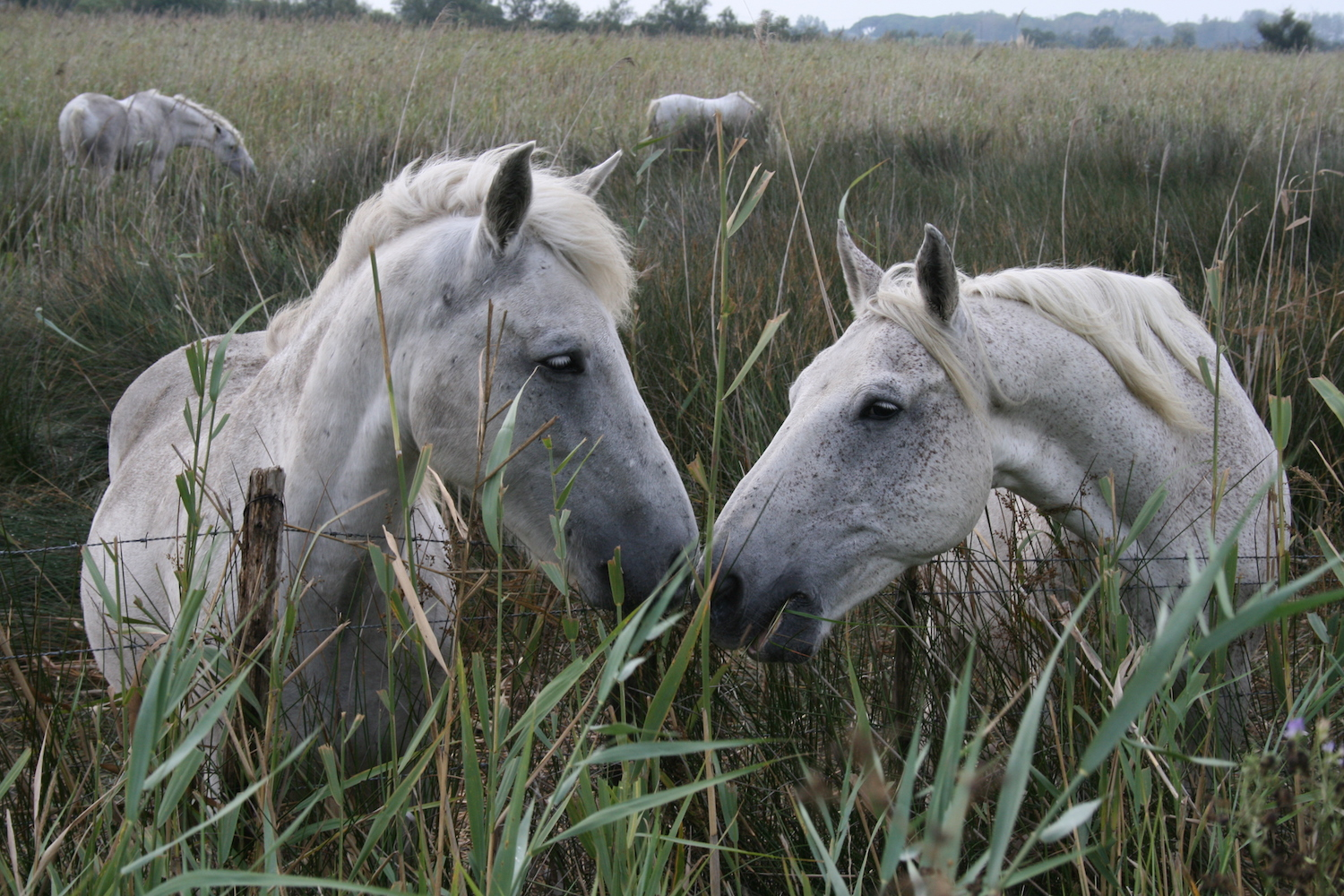 The wild white horses of the Camargue