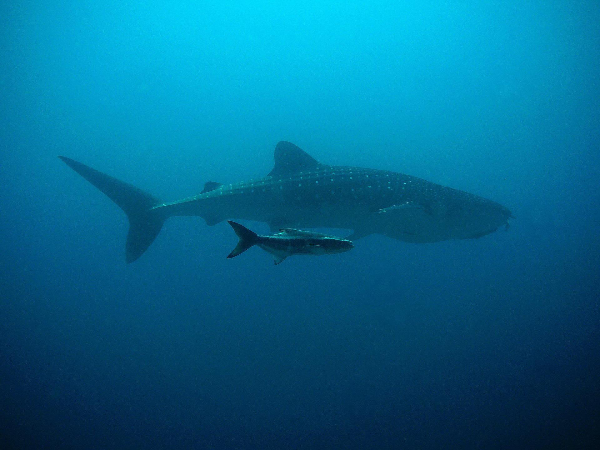 Slide 7 whale-shark-207401_1920 (1).jpg