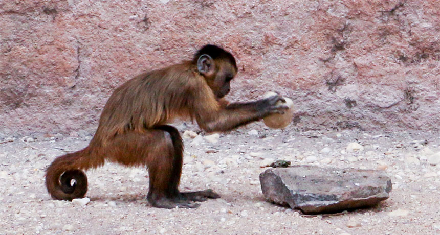 The wild bearded capuchin monkey uses a stone to get into cashews but a cheap whiz stick will do the trick here