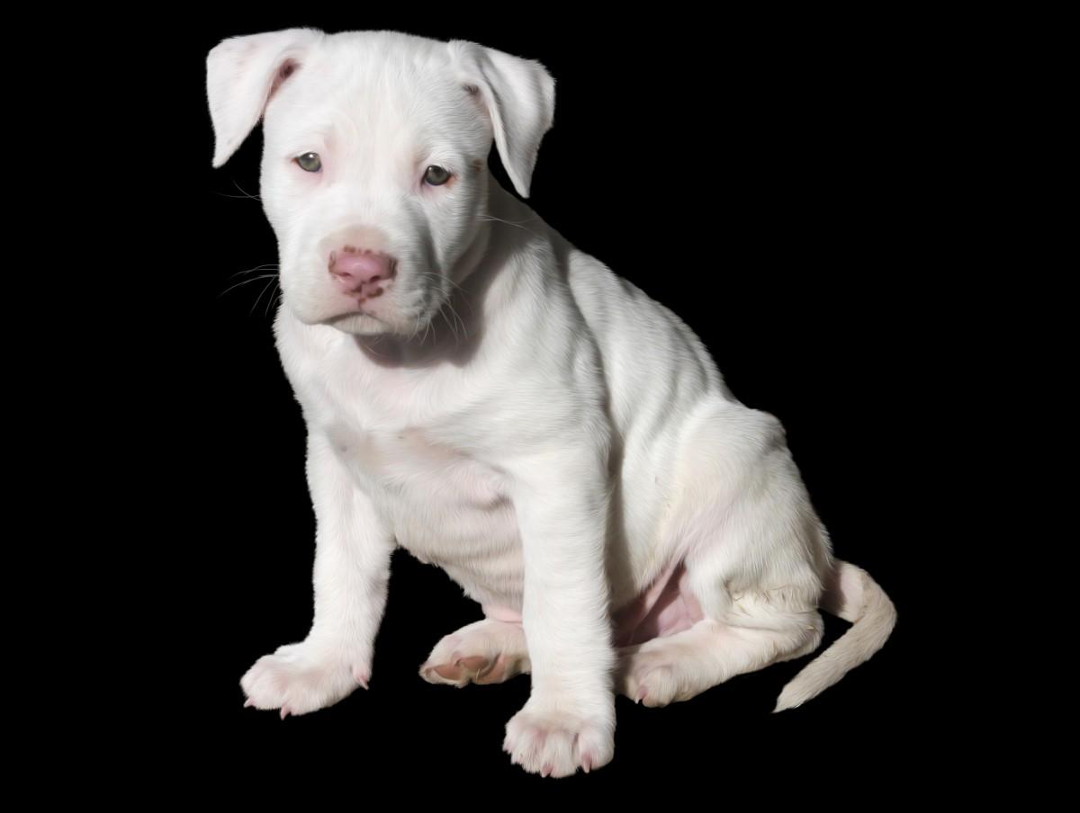 cute_white_puppy_dog_pit_bull_pitbull_staffordshire_american-1047005.jpg