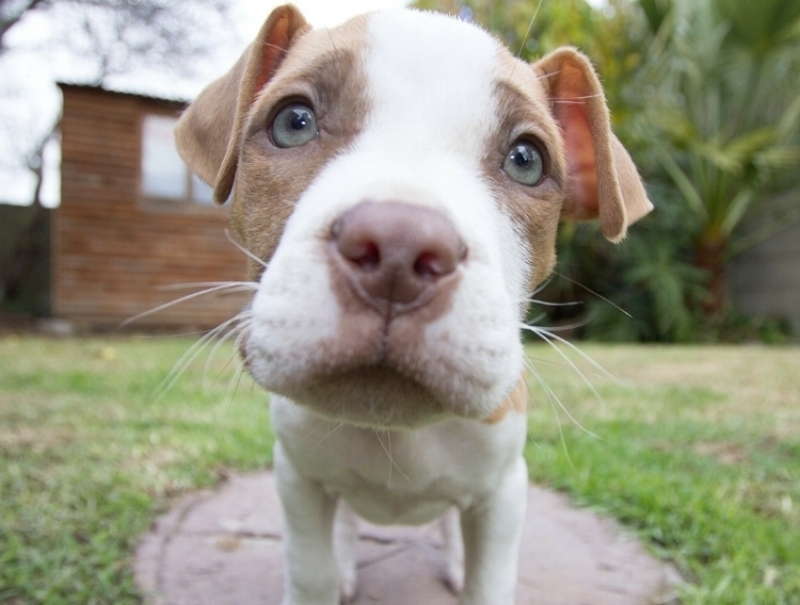Thinking About Fostering? - Love Pit Bulls/Bully breeds but aren't sure if it is the right breed for you? Can't commit the next fourteen plus years of your life to a dog of your own? Are you experienced with these breeds, have the time and ability and heart to help a needy dog? These are just a few of the reasons to consider fostering.