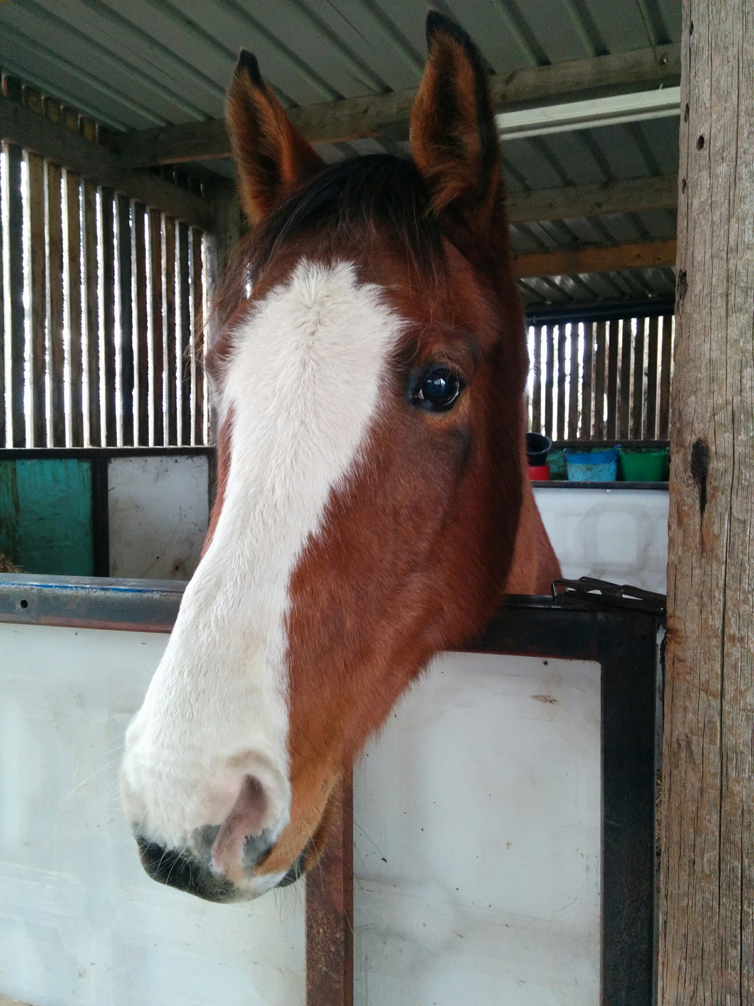 Riaz - I have had Riaz on loan since January 2015. He LOVES his therapy! He has arthritis in his neck either from an injury when he was very young. Due to this, he also has compensatory issues in the muscles of his neck, shoulders, and hind quarters. He struggles to bend on the right rein, and has taught himself to look left while turning right! He regularly benefits from massage, acupressure and reiki. He also has some crystals on his browband which will help with his arthritis.He is barefoot, and when he becomes foot sore if there is constant wet weather some acupressure soon puts it right.