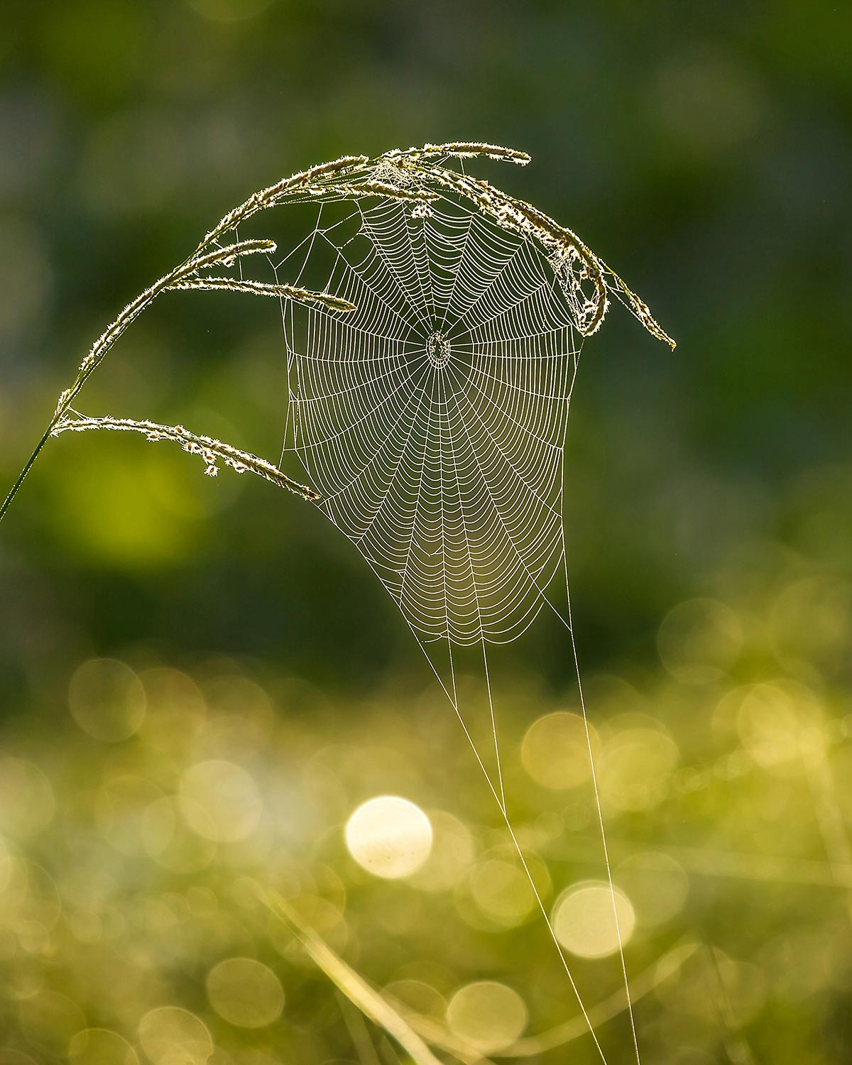 Spiderweb lit-up in the early morning sunshine.