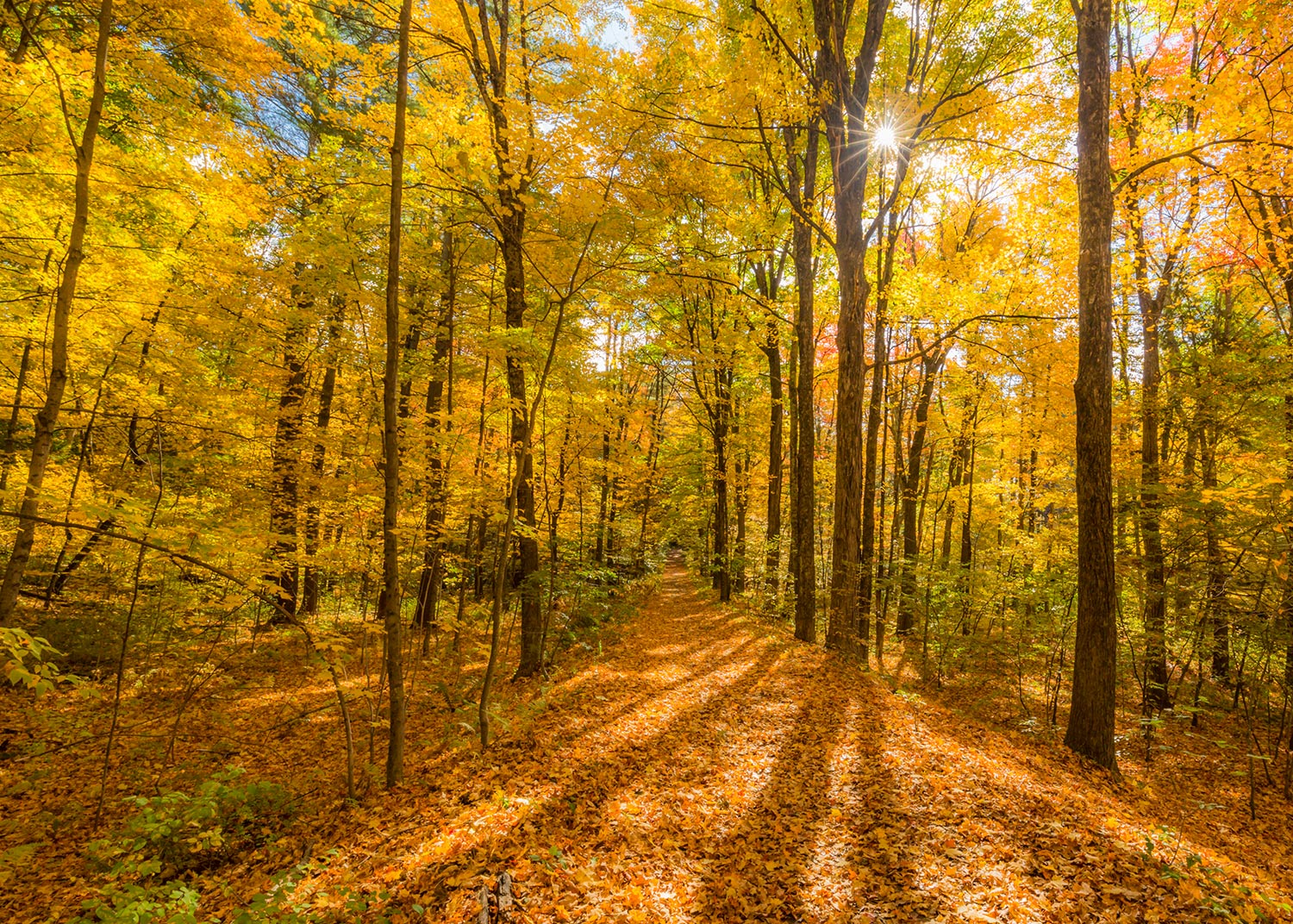 Golden hues of fall along the trail at Nashua River Woods, Lancaster, MA.