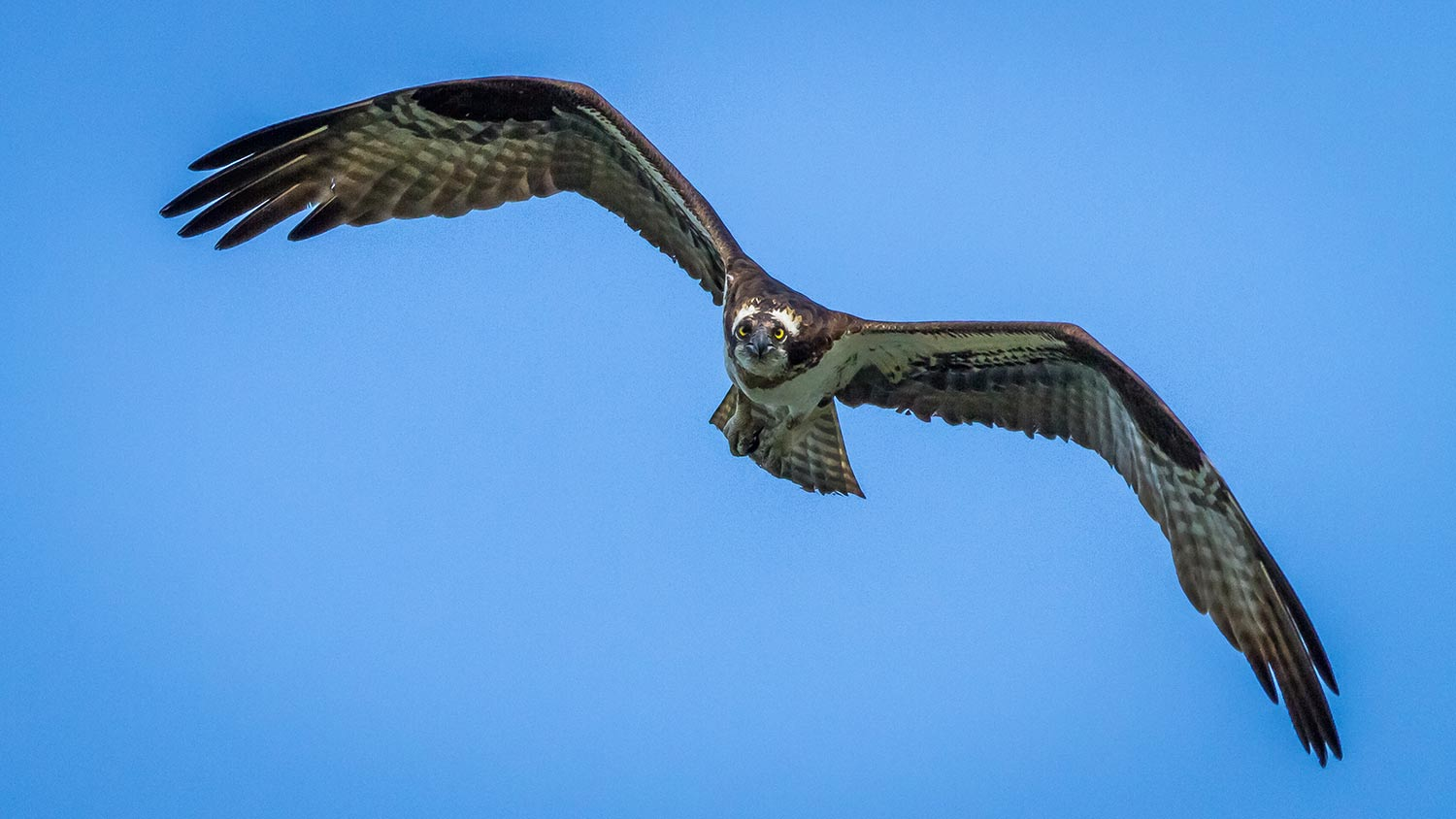 This osprey was watching me as I got this shot from my kayak. Boxboro, MA