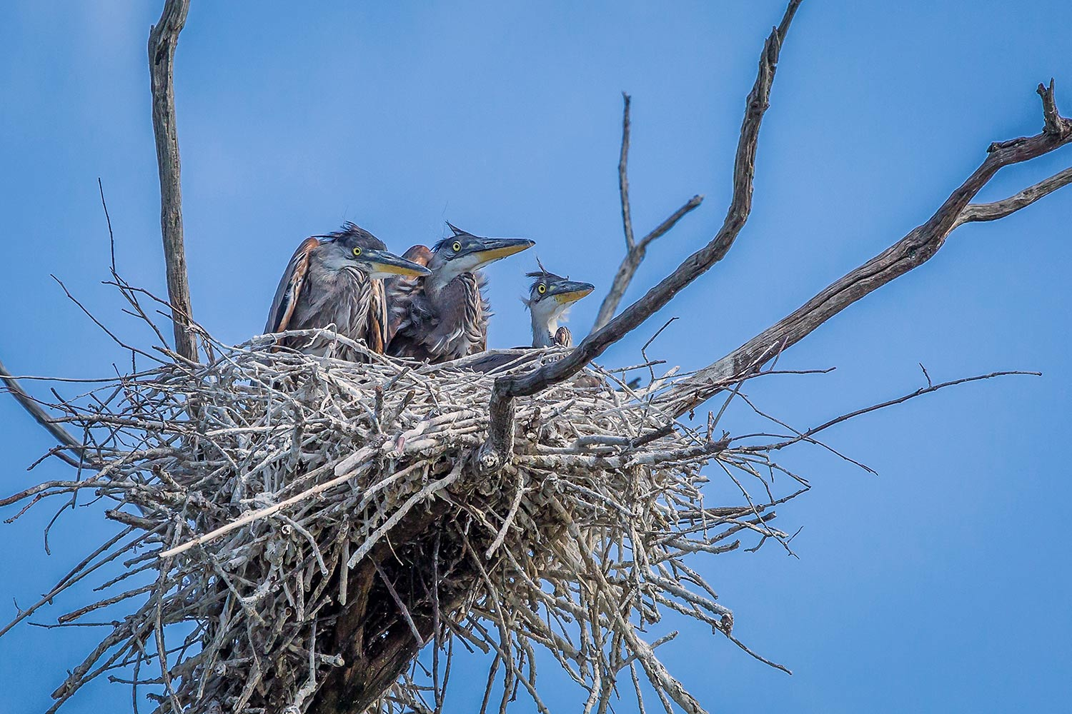 A trio of young Great Blue Herons, Boxboro, MA.