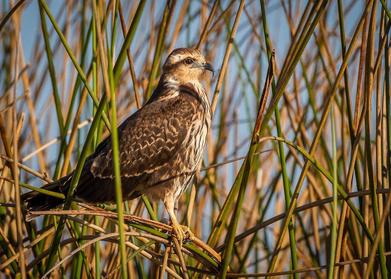 Female Snail Kite perched in the reeds of East Lake Tohopekaliga, Saint Cloud, FL.
