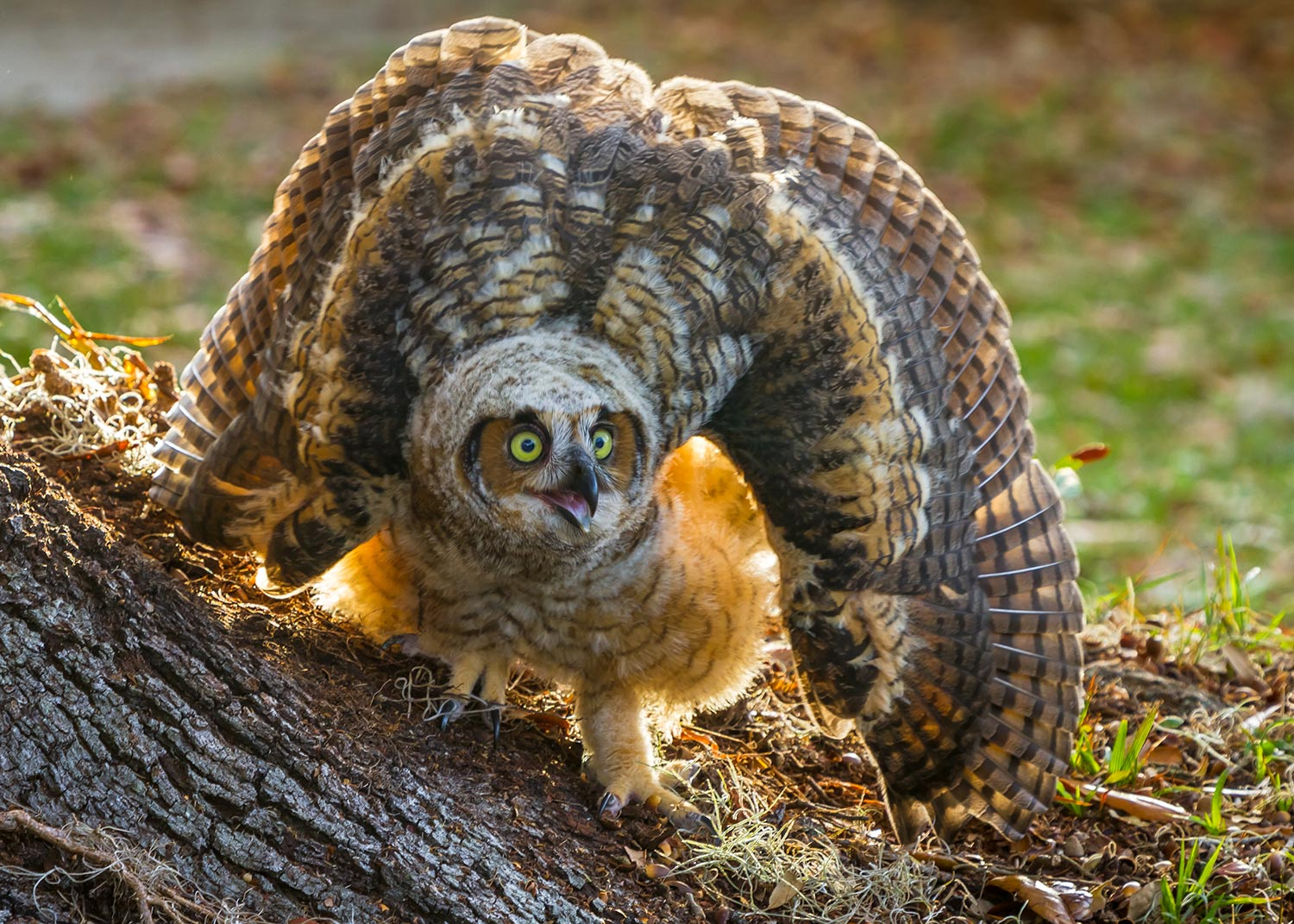 I watched this owl as it was learning to fly. The nest was in a neighborhood and right in someone's front yard. The young owl did not like the car that was passing by on the road that's just out of frame.