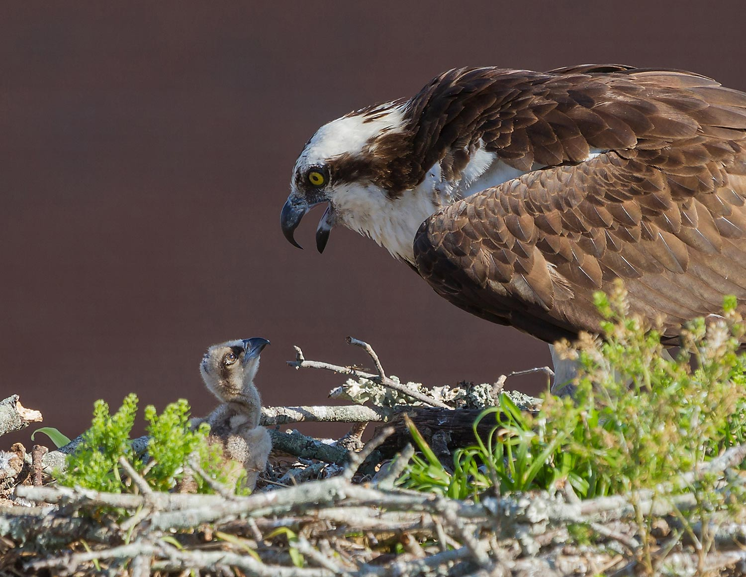 You won't believe how and where I got this picture. I took this in downtown Winter Park, FL. The osprey nest was on a post between a parking garage and a building. I was on the top of the parking garage.