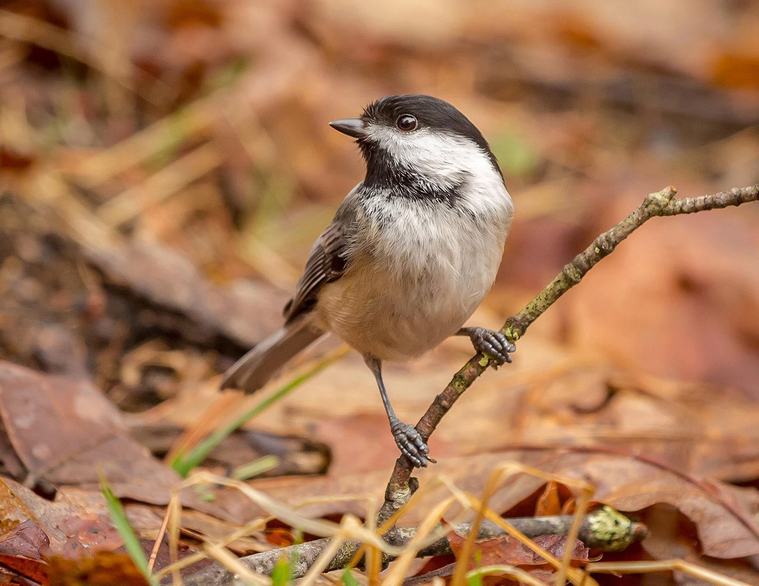 A Black-capped chickadee was kind enough to pose for me.