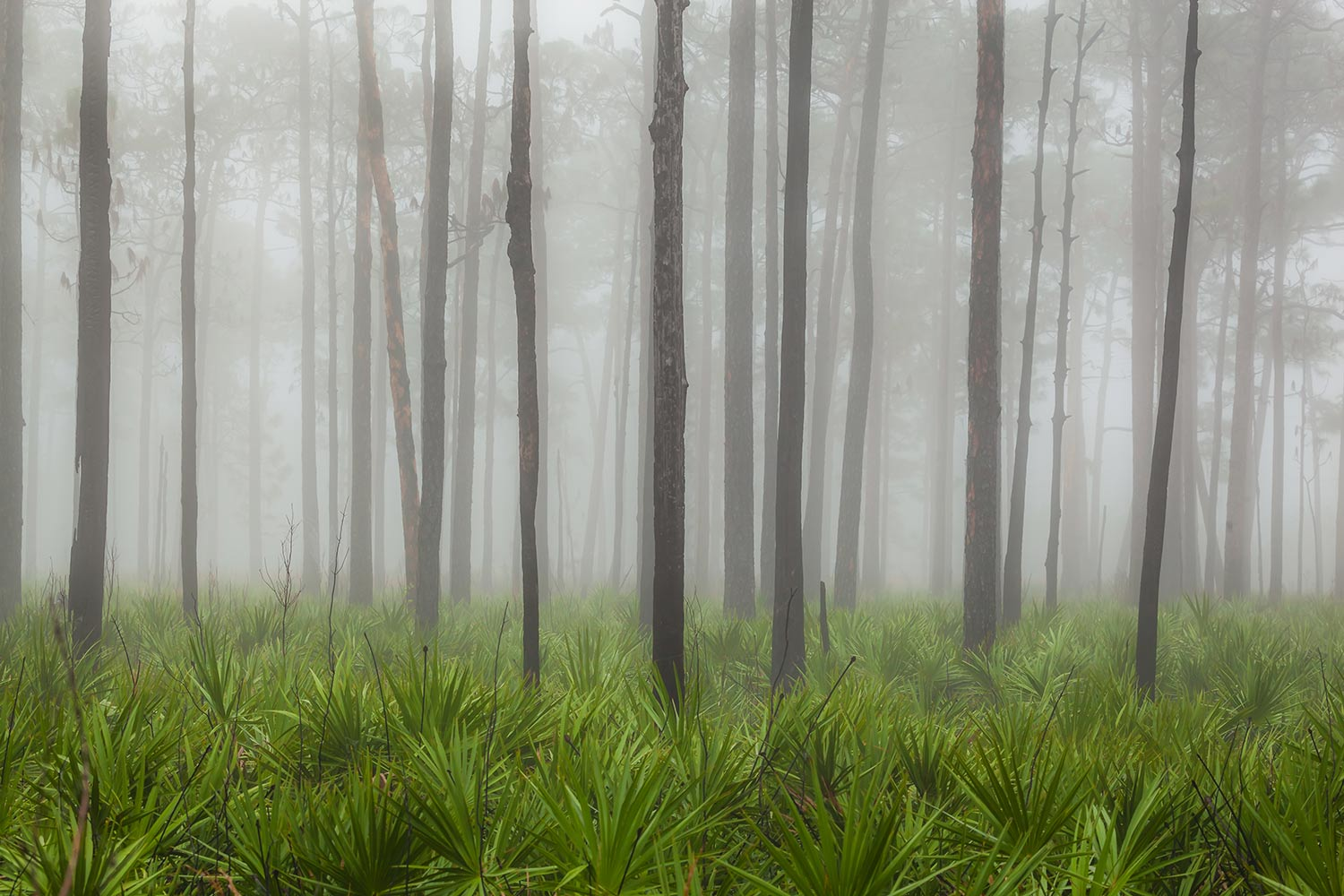 Foggy morning in the tall pines and palmettos of Split Oak Forest.