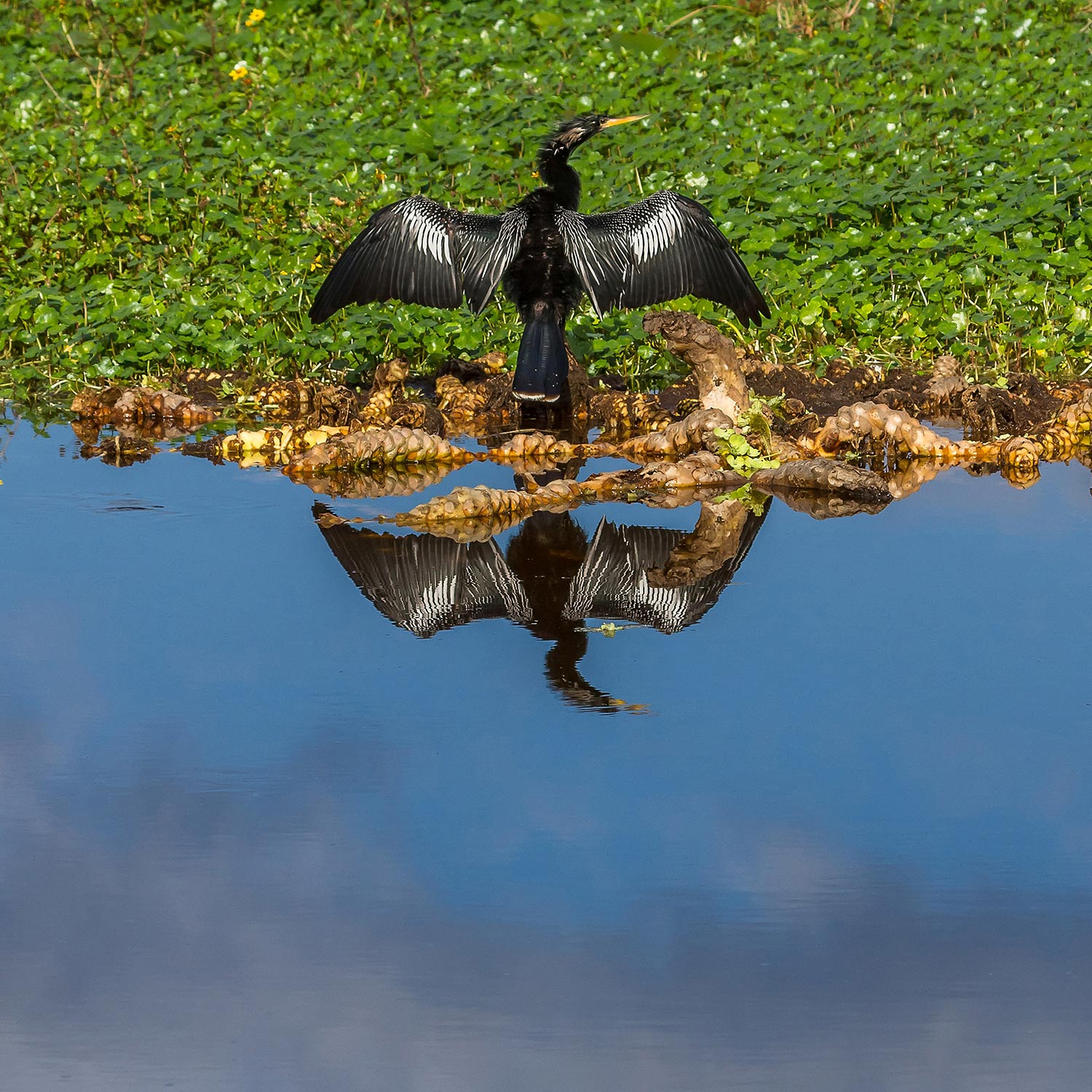 An Anhinga drying it's wings in the sunshine, Orlando Wetlands, Christmas, FL.