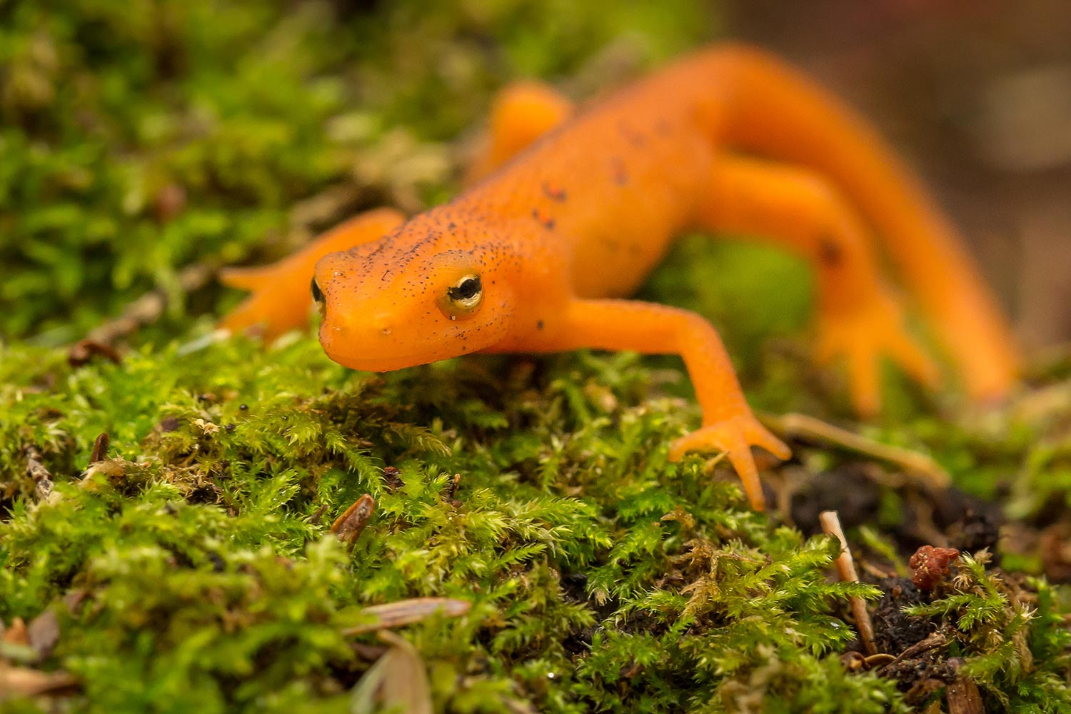 I found this little guy hanging out along the hiking trail in the woods of New Hampshire, an Eastern newt, or Red Eft.