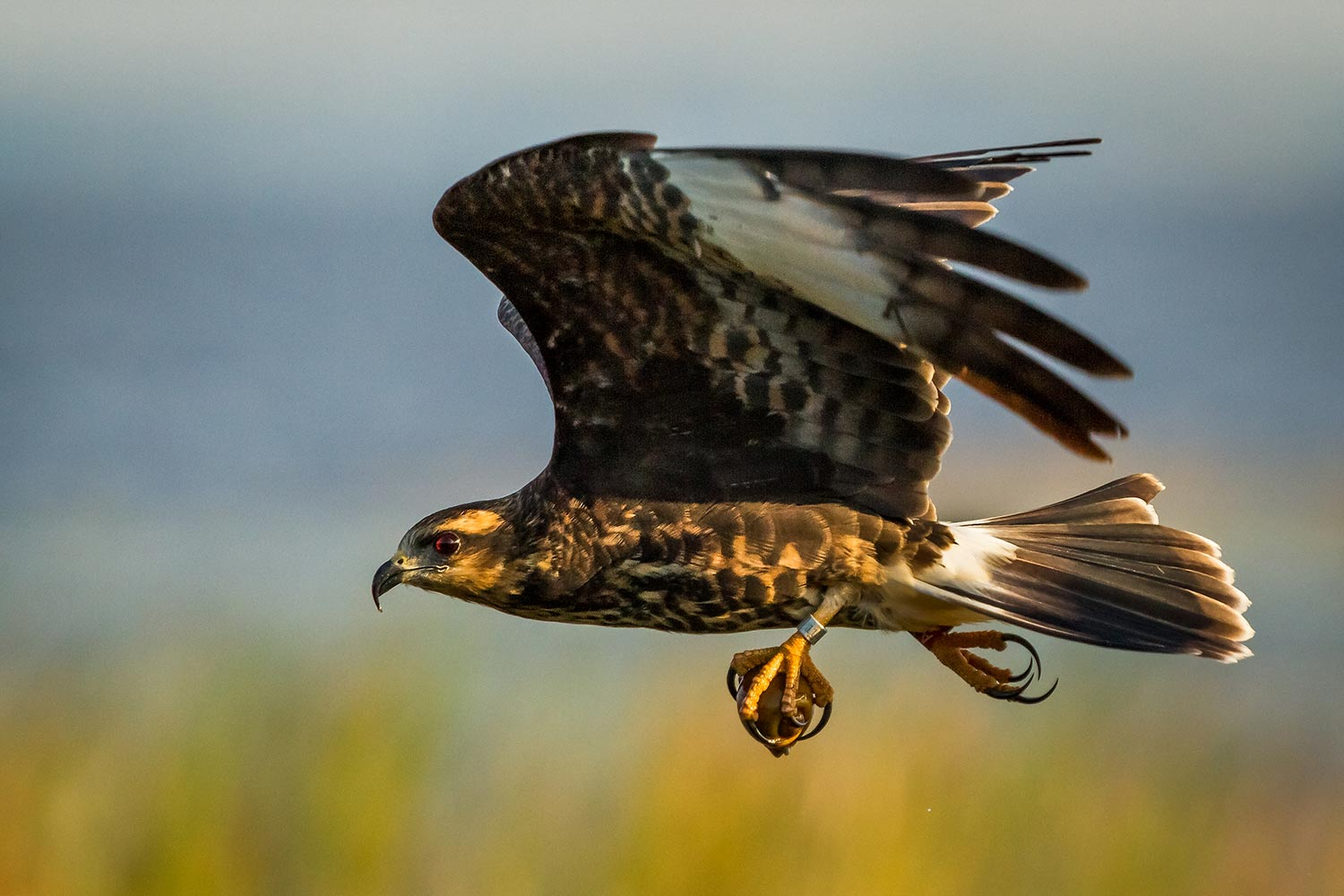 Snail Kite with apple snail in grasp