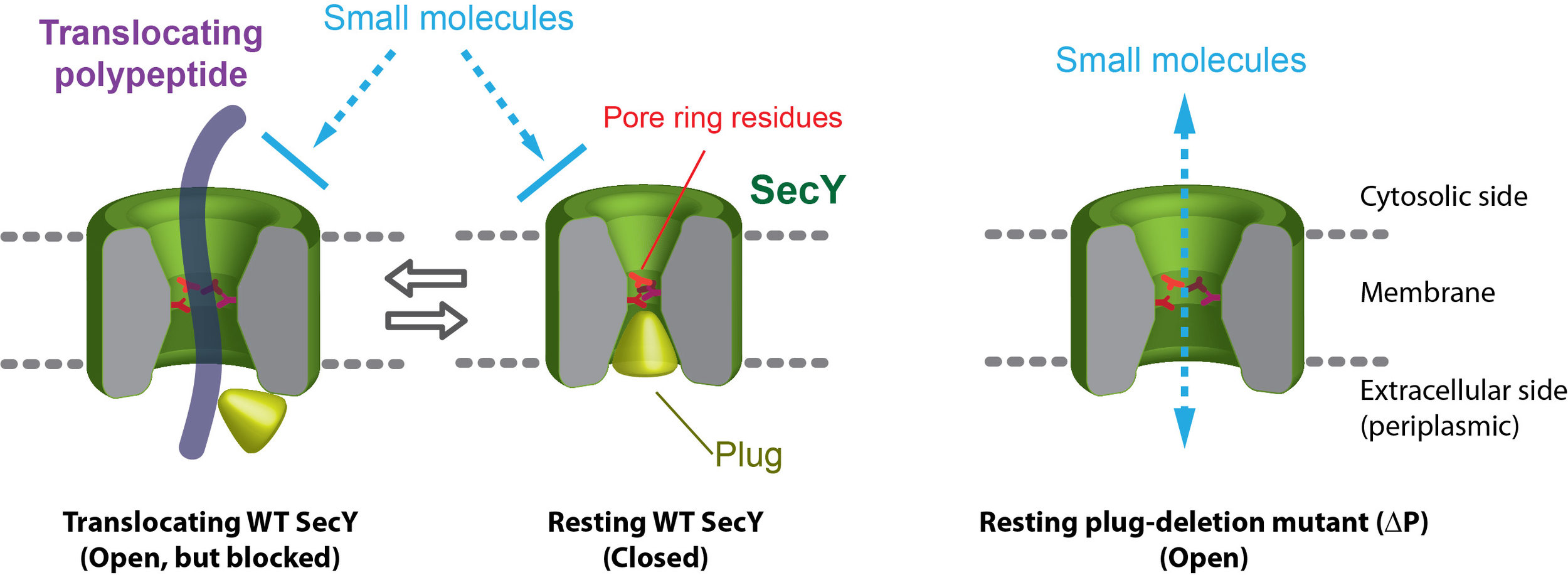 Mechanism by which the pore-ring residues and plug of the SecY protein-conducting channel preserve the membrane permeability barrier against ions and small molecules (Park and Rapoport, 2011)