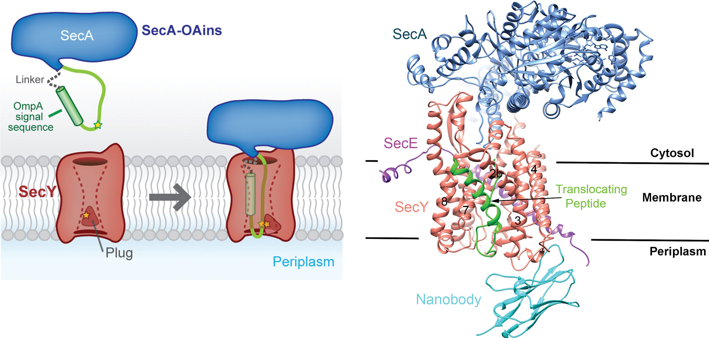 Crystal structure of a substrate-engaged SecY protein-translocation channel enabled by a SecA-substrate fusion approach (Li and Park et al., 2016)