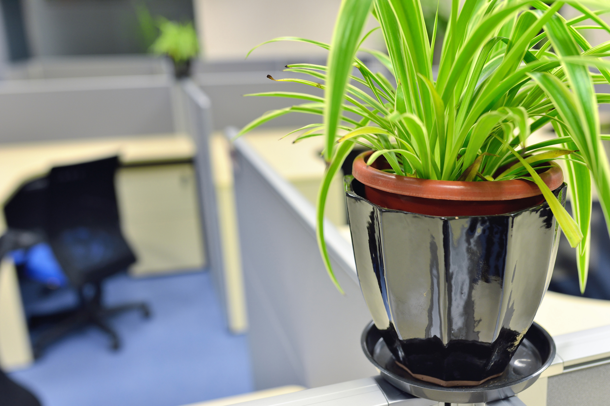 Adding fresh greenery to your cubicle space will boost your mood, increase productivity, and decrease stress. (Spider Plant shown above)