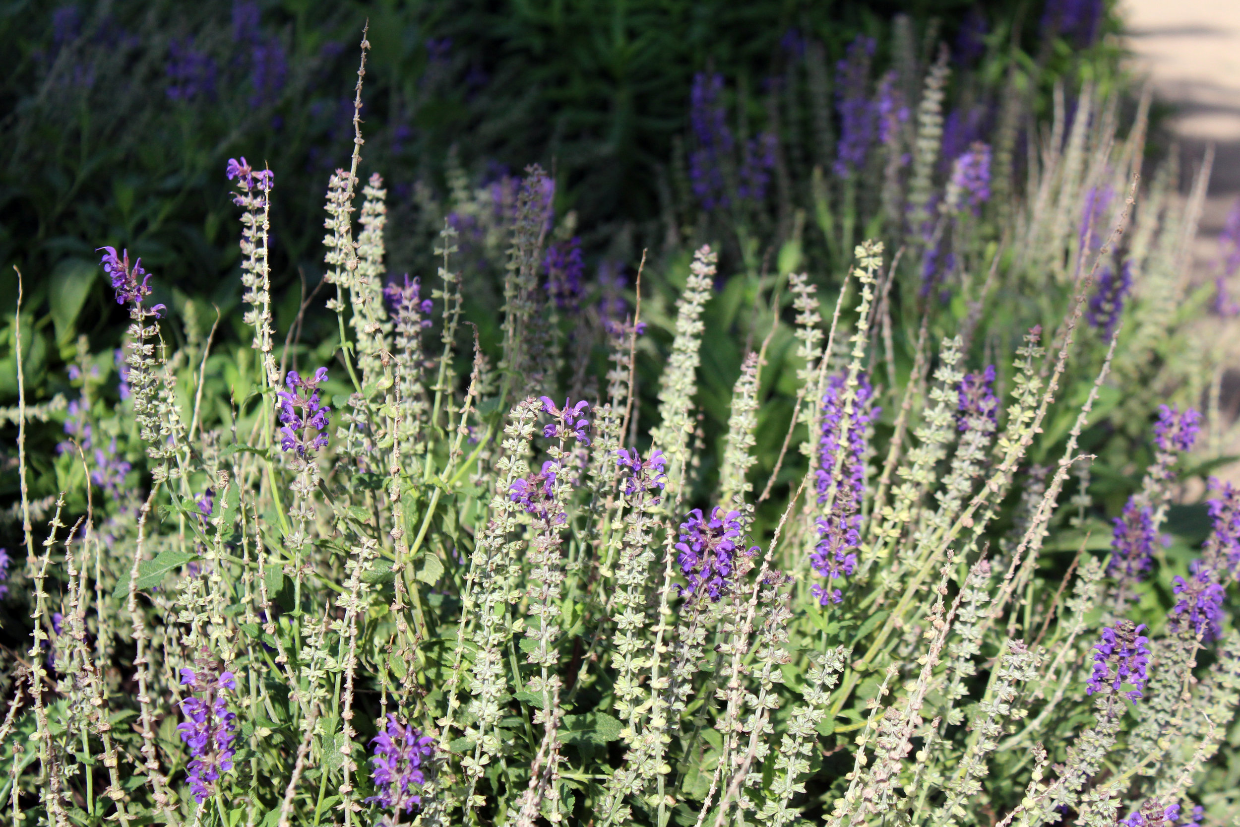 Campbell Yard May Night Salvia.jpg