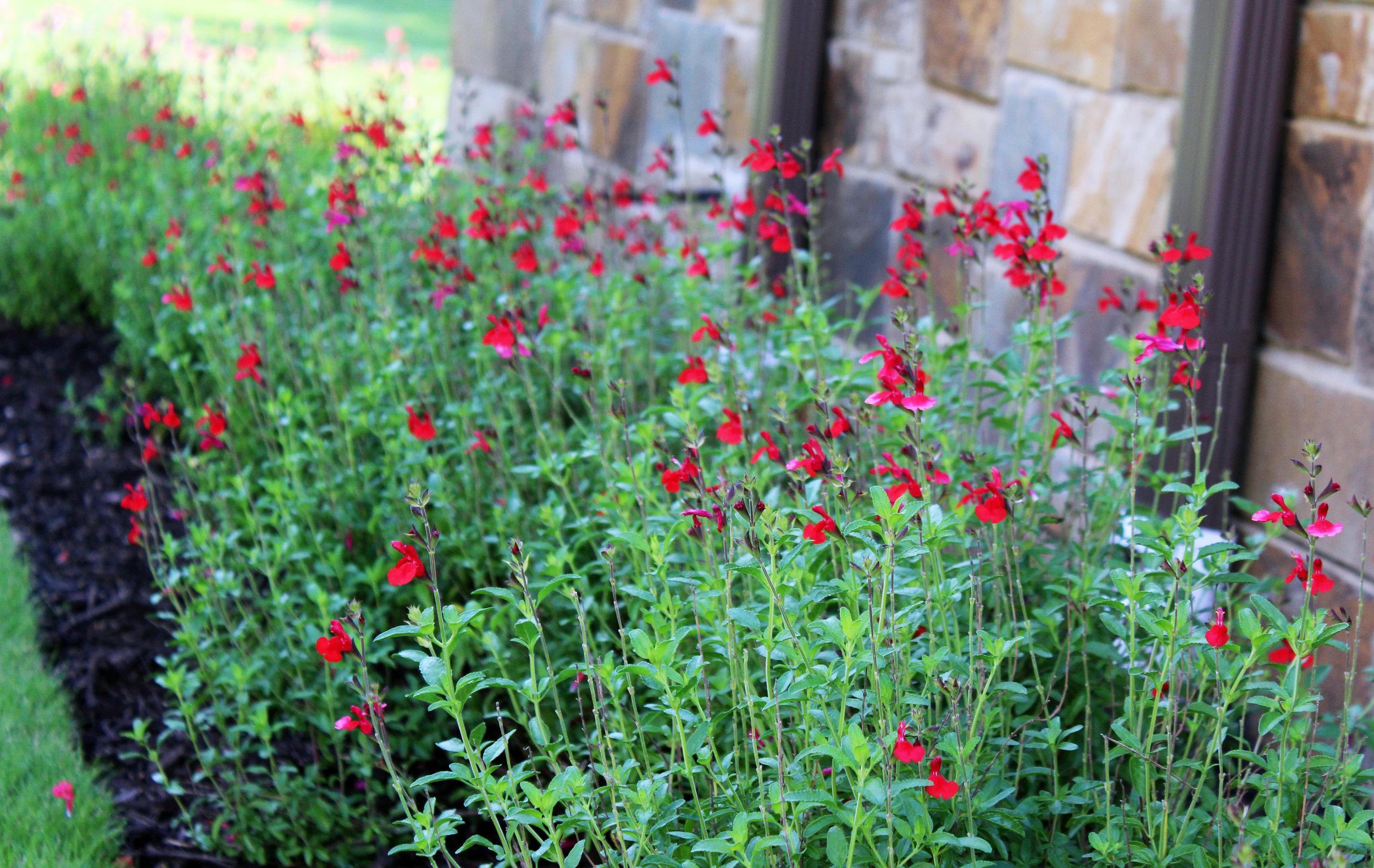 Campbell Yard Salvia Greggii.jpg