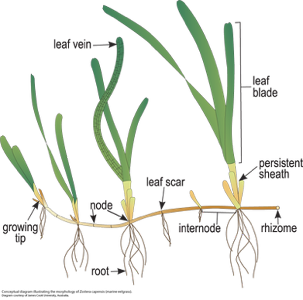 Figure 1.  Detailed illustration of  Posidonia Australis    Source:  James Cook University