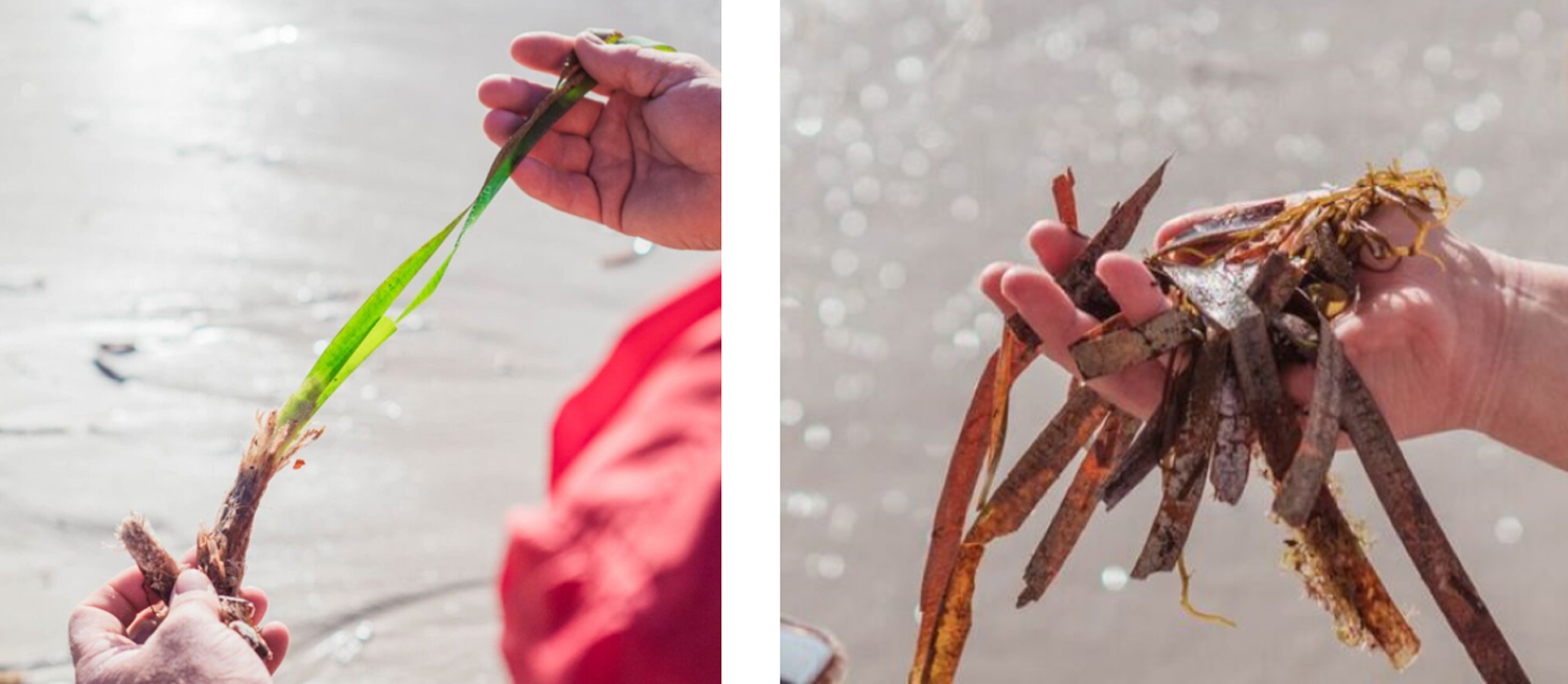 The picture on the left shows green seagrass = ALIVE (Yes, pick it up!) The picture on the right shows brown seagrasses = DEAD (leave)